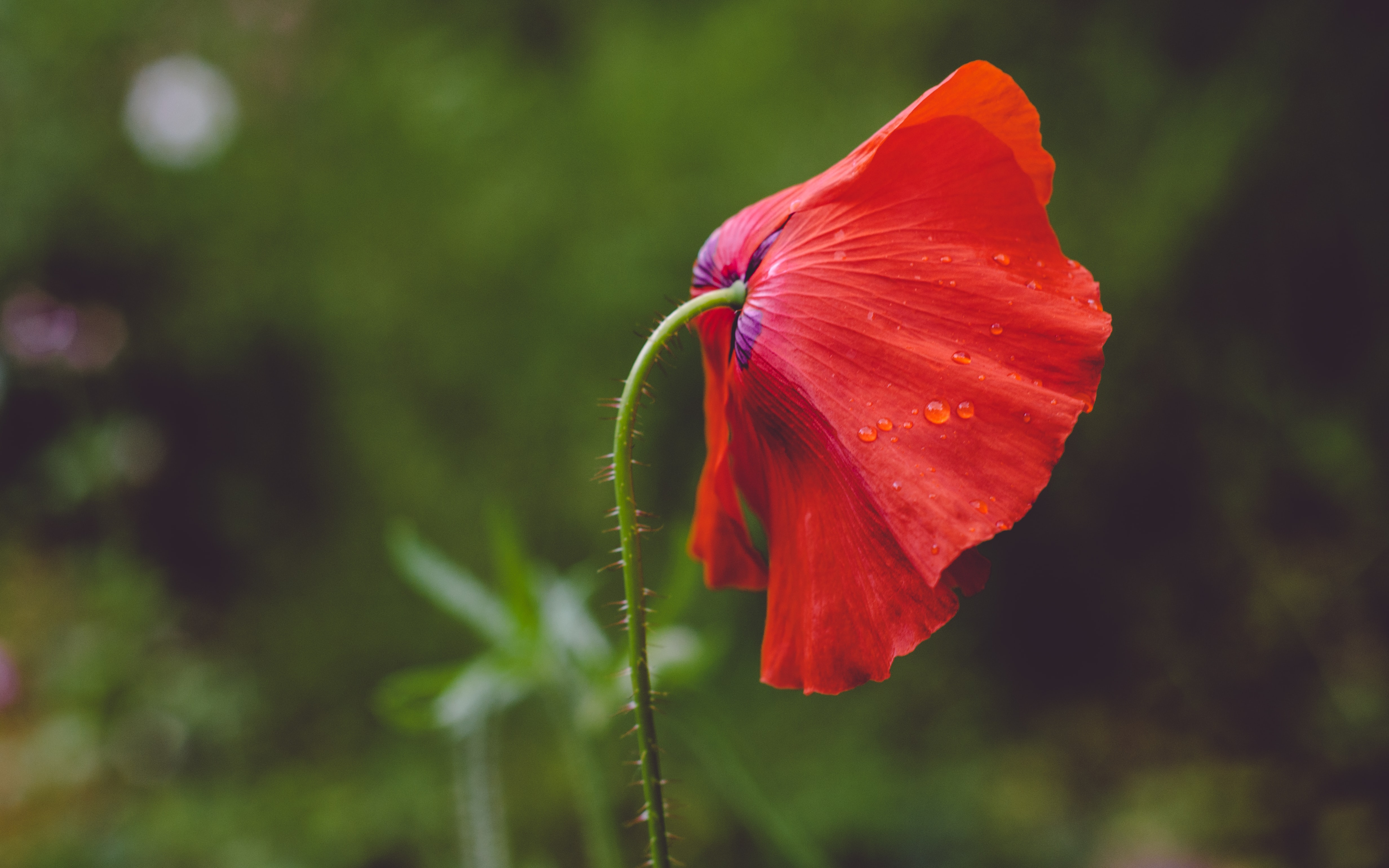 A red poppy flower covered with small droplets of water