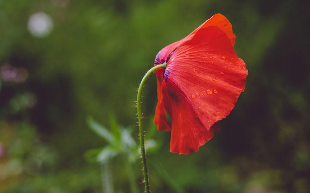red petaled flower