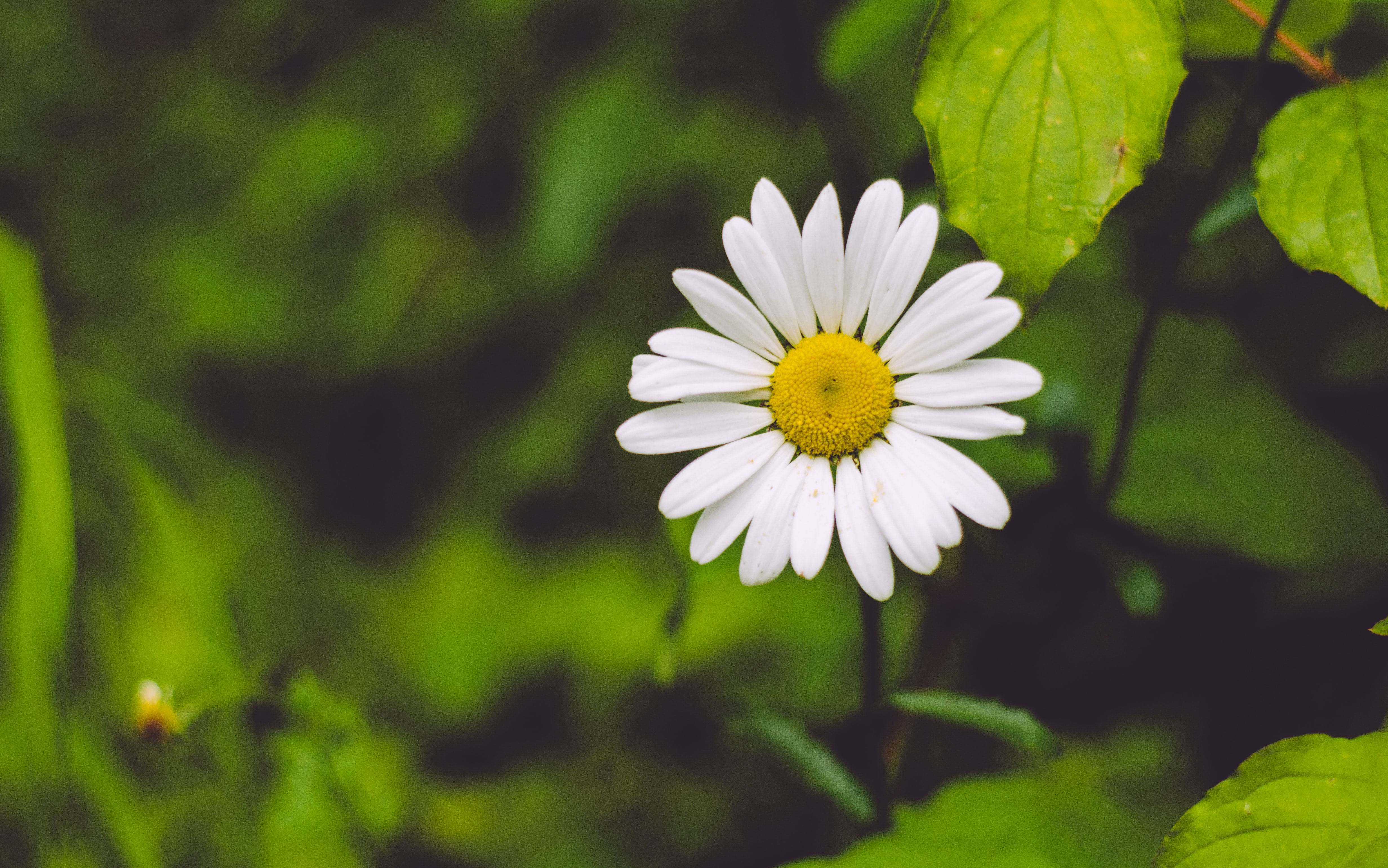 photo of white daisy flower