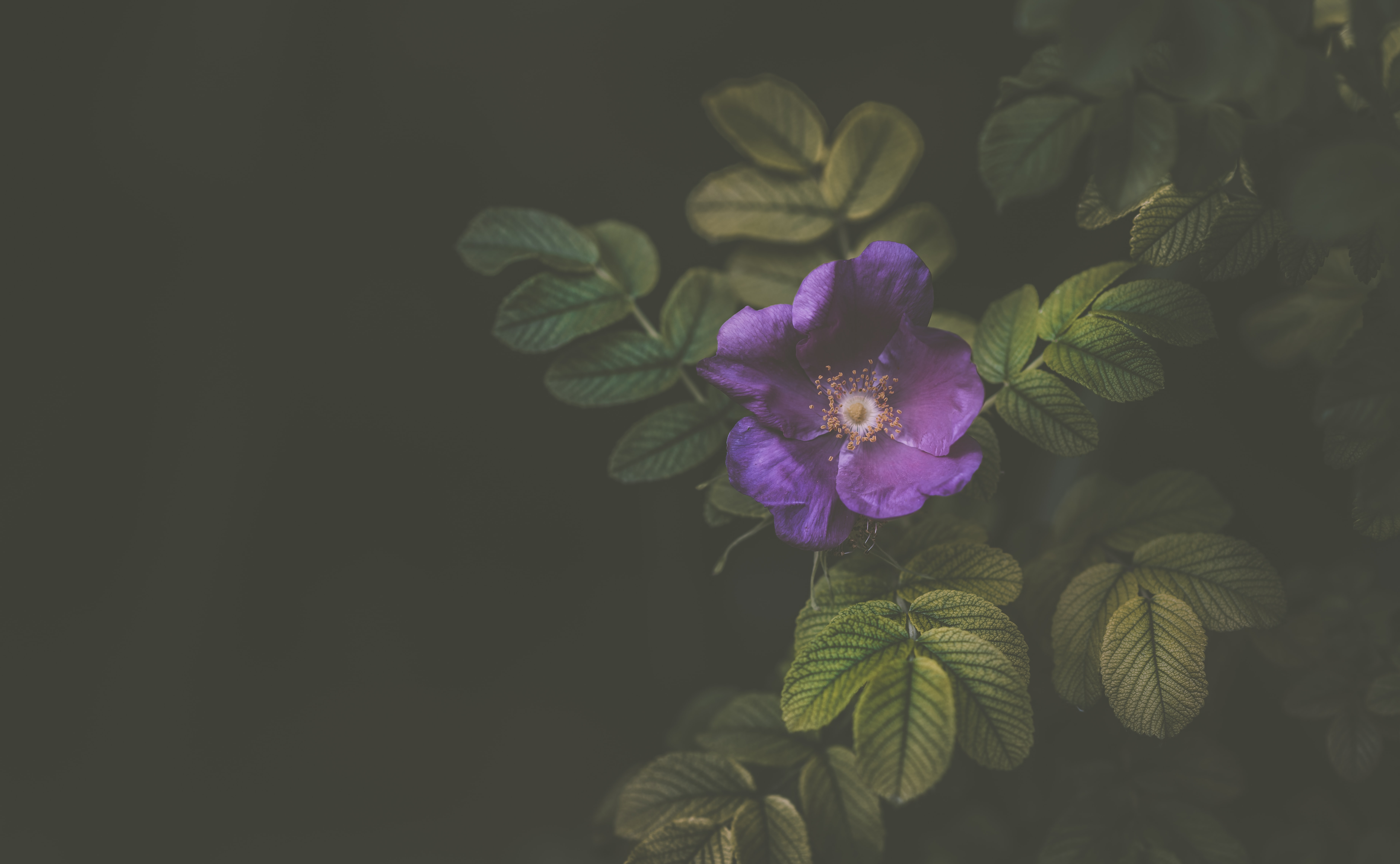 A purple flower and its green leaves against a dark background
