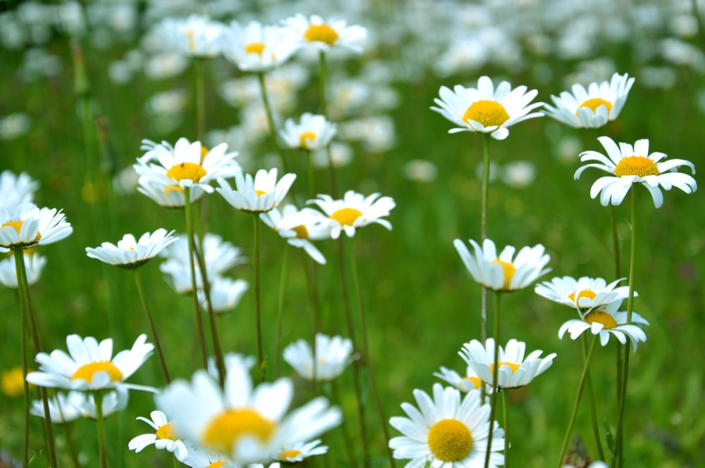 Close Up Of A Grouping White Daisy Flowers