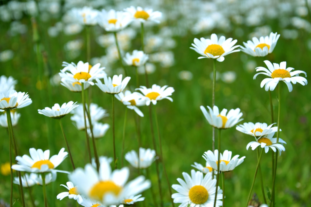 Close-up of a grouping of white daisy flowers