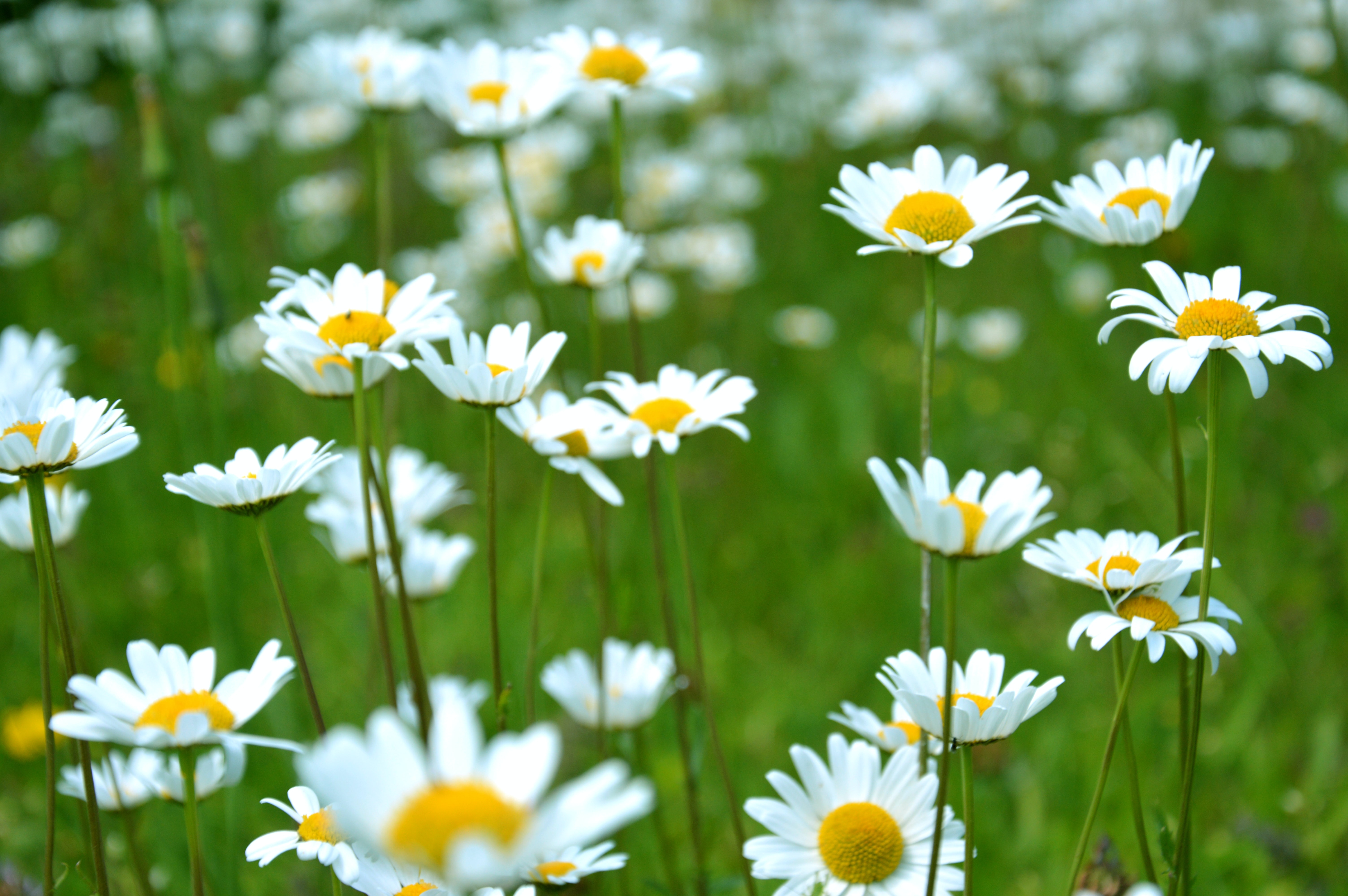 Close Up Of A Grouping Of White Daisy Flowers