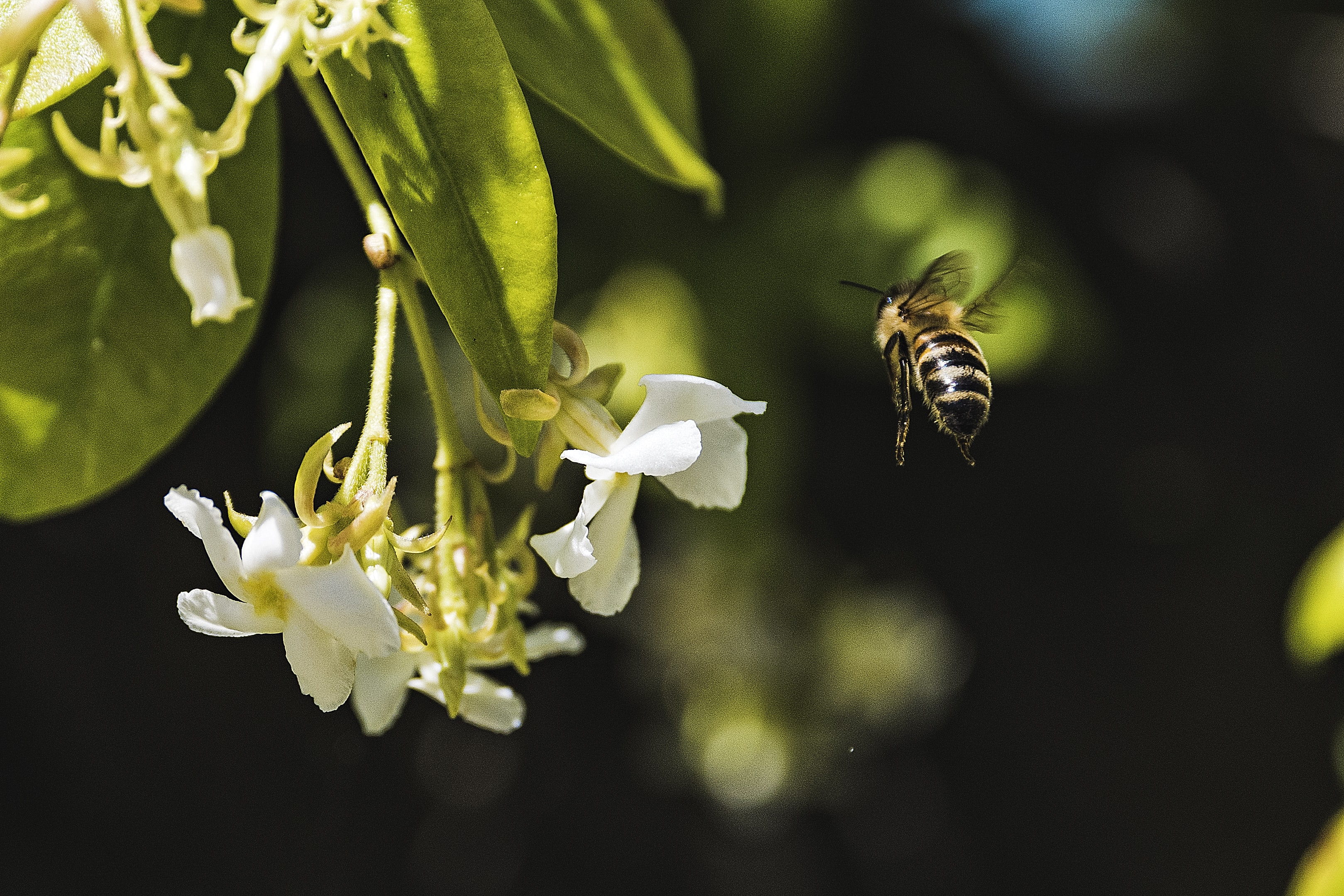A bee in flight next to a bunch of small white flowers