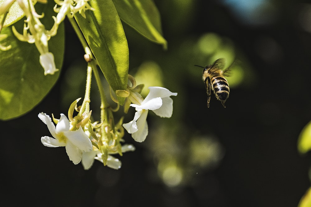 bumblebee flying beside white flowers