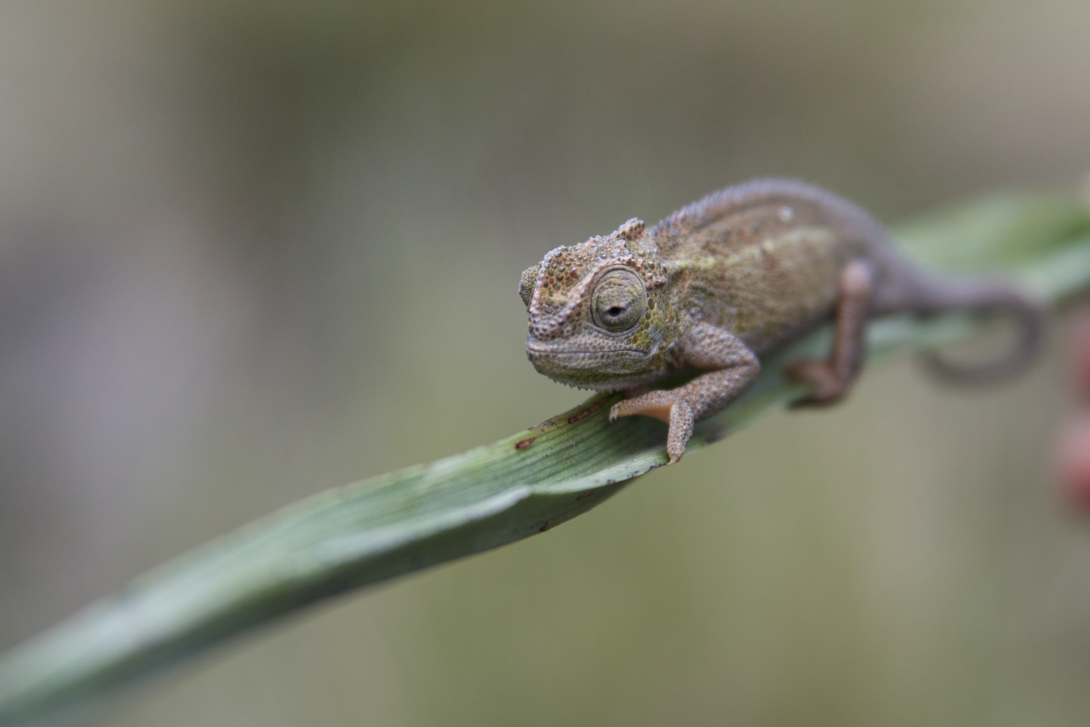 brown cameleon on green leaf in selective focus photography
