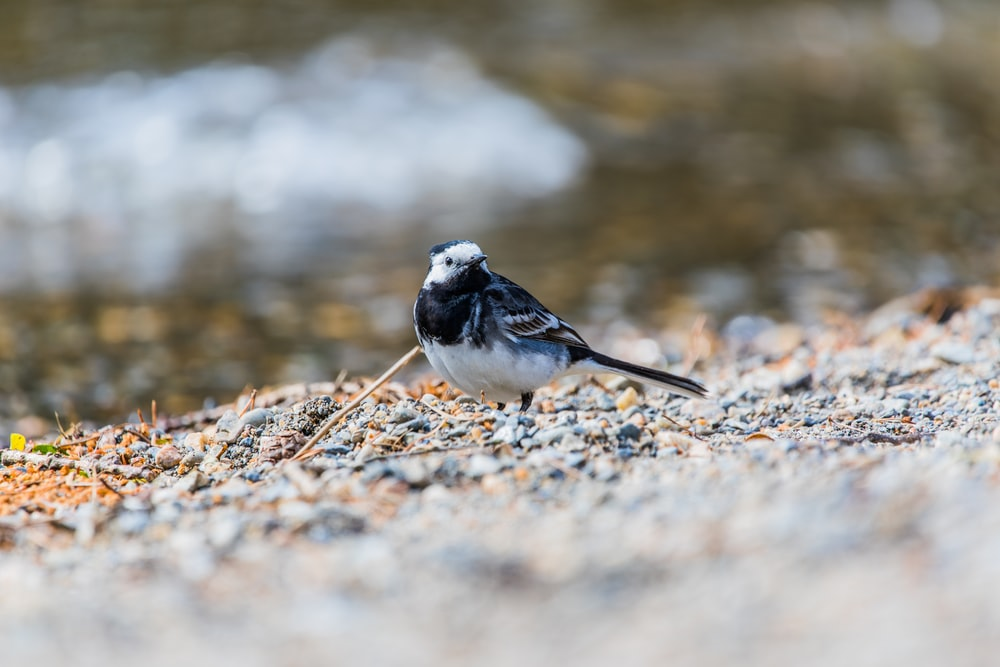 Macro of a blue and white bird on a gravel ground