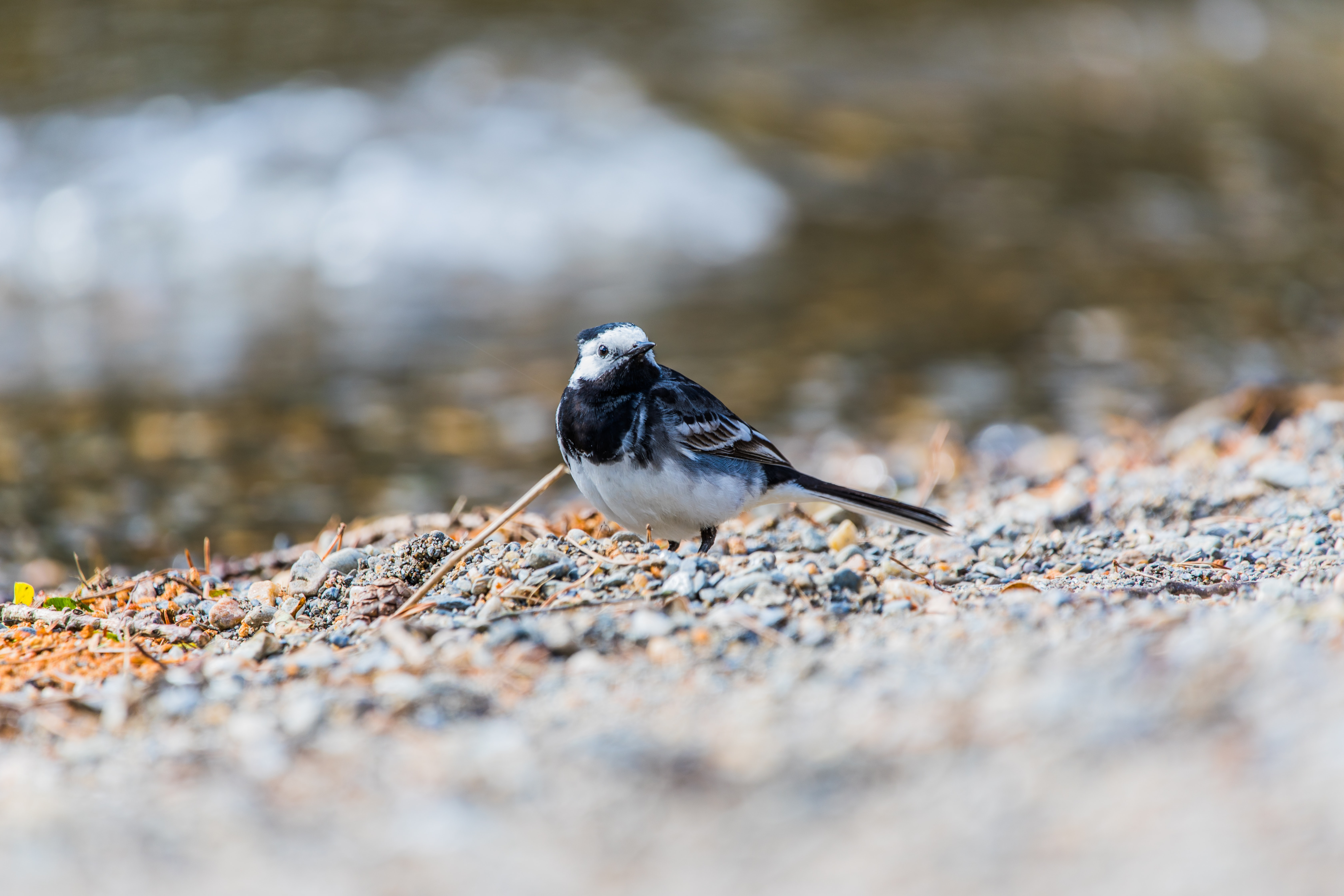 selective focus photography of black and white bird standing on stone covered surface