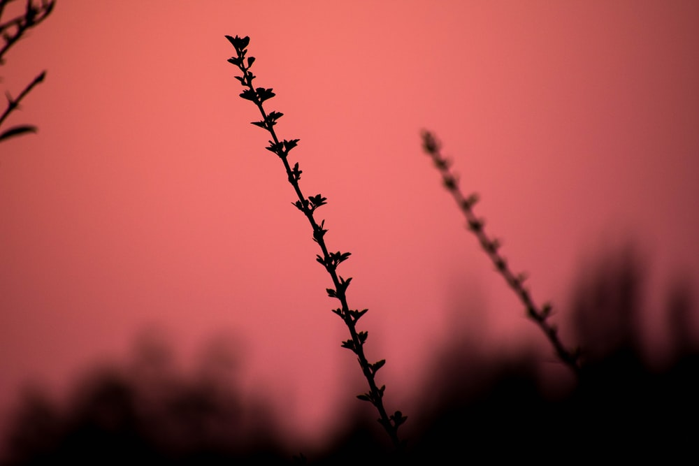 silhouette of plant against red background