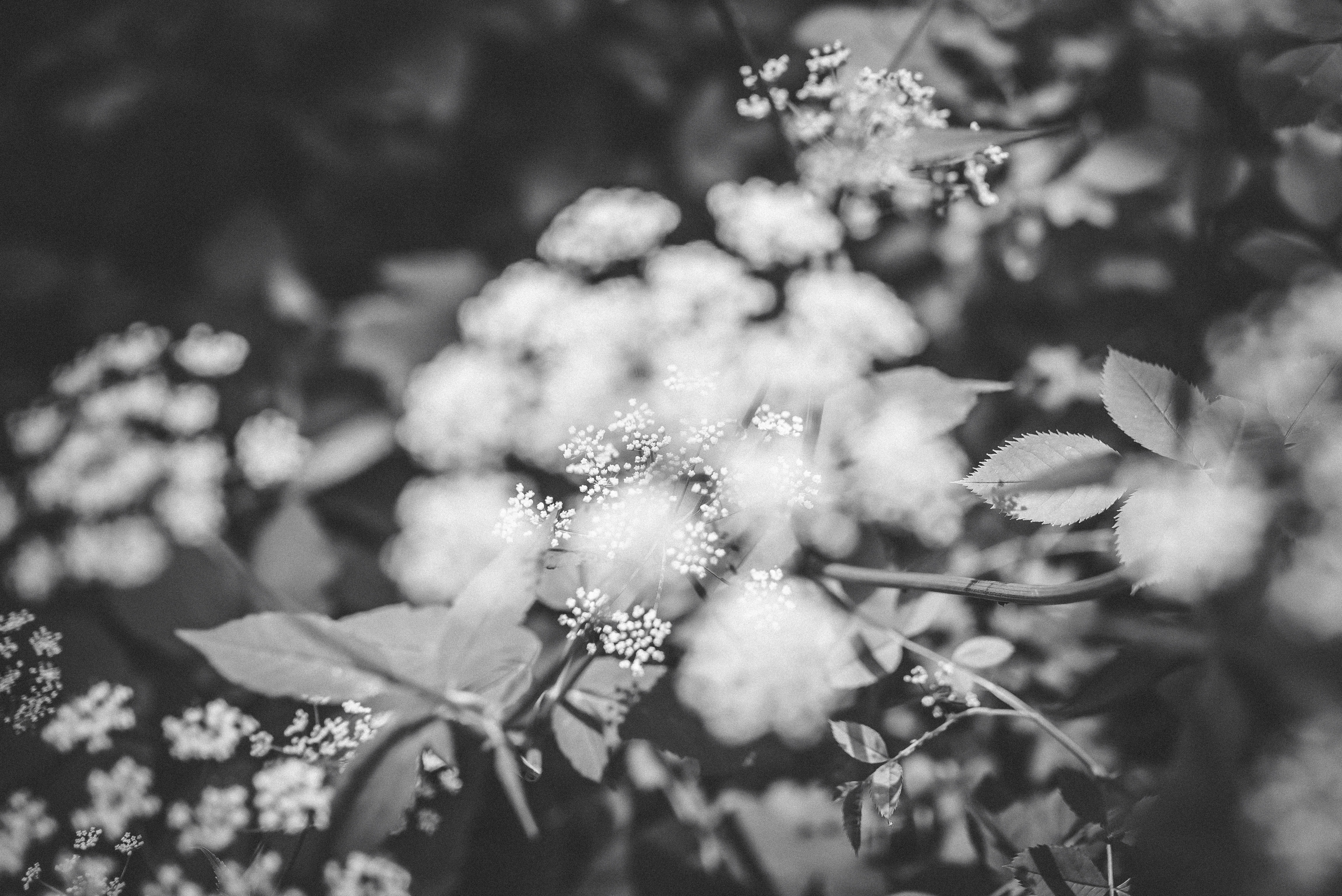 Black and white close up of blurry plant with leaves and flowers