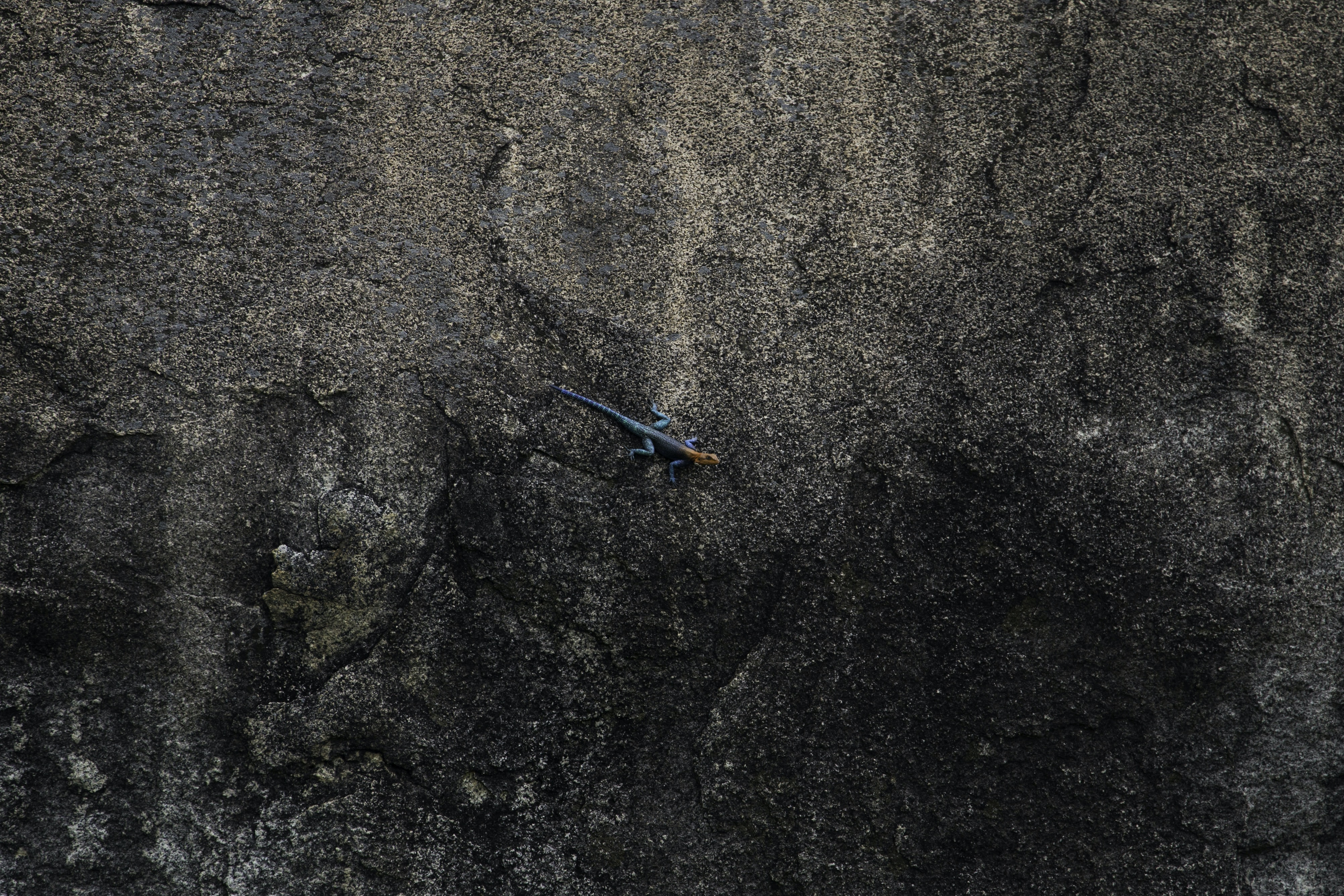 An orange headed lizard with a blue body crawling on a rocky surface in Ruaha National Park