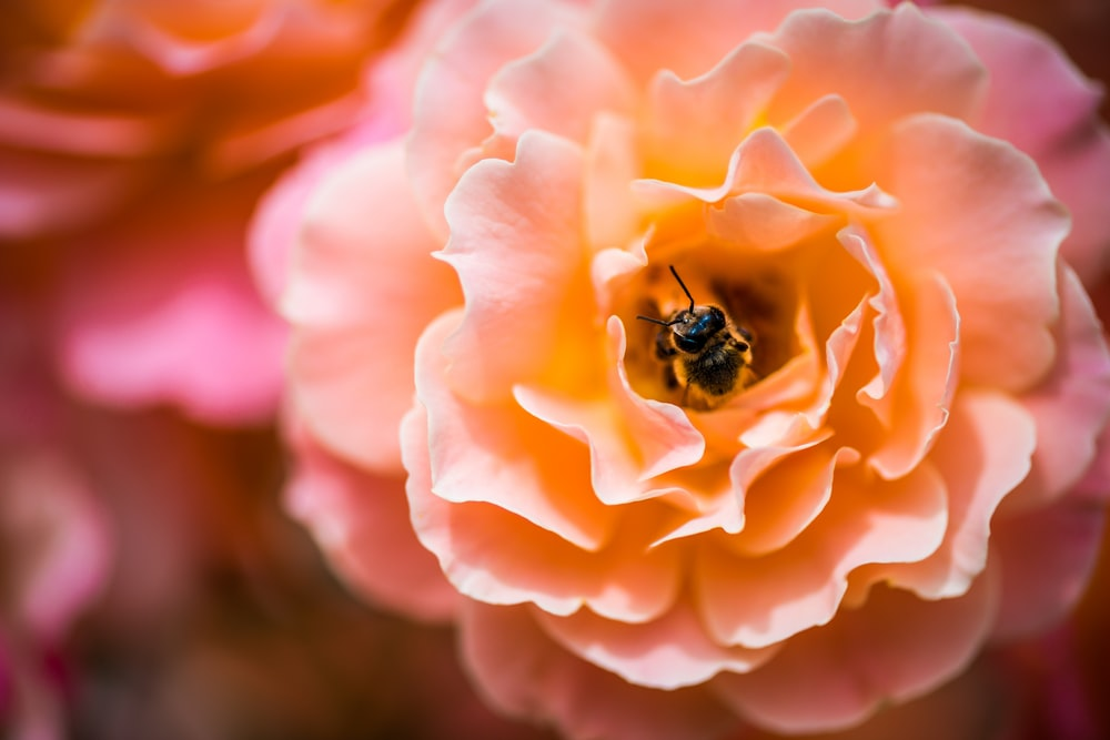 honeybee feeding on orange flower