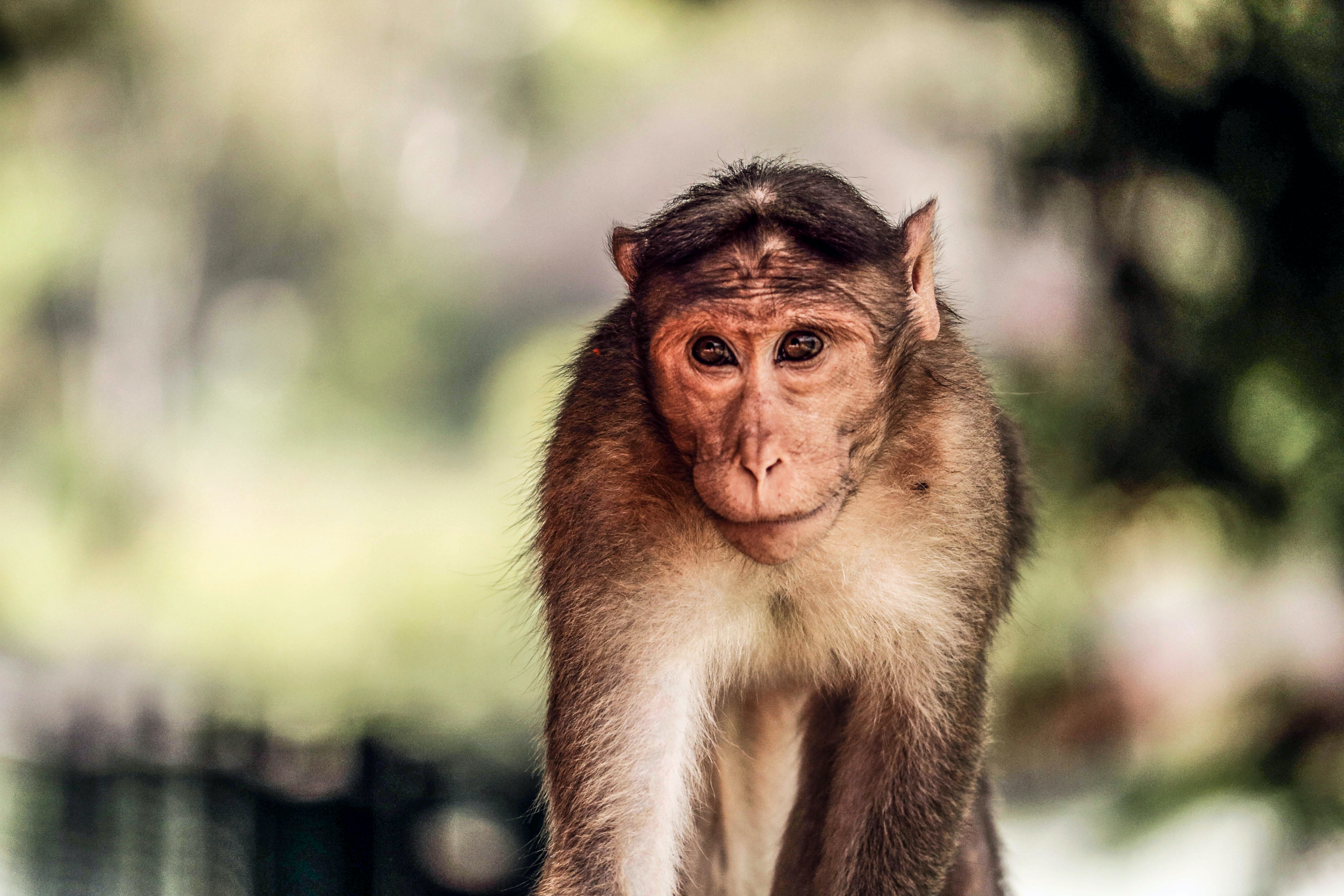 A monkey with beady eyes looking shy