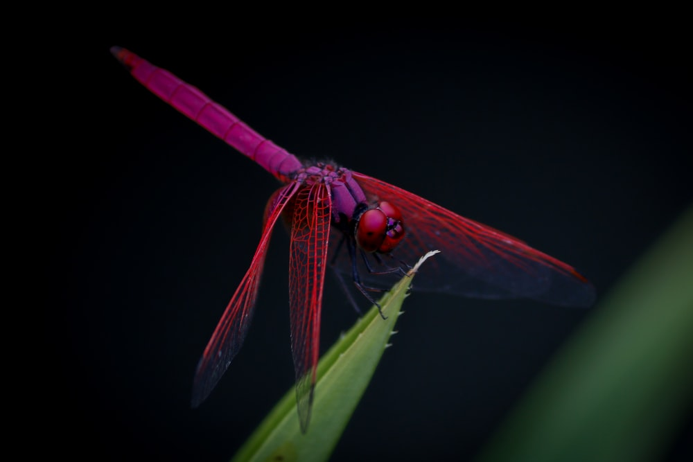 macro photography of red dragongly