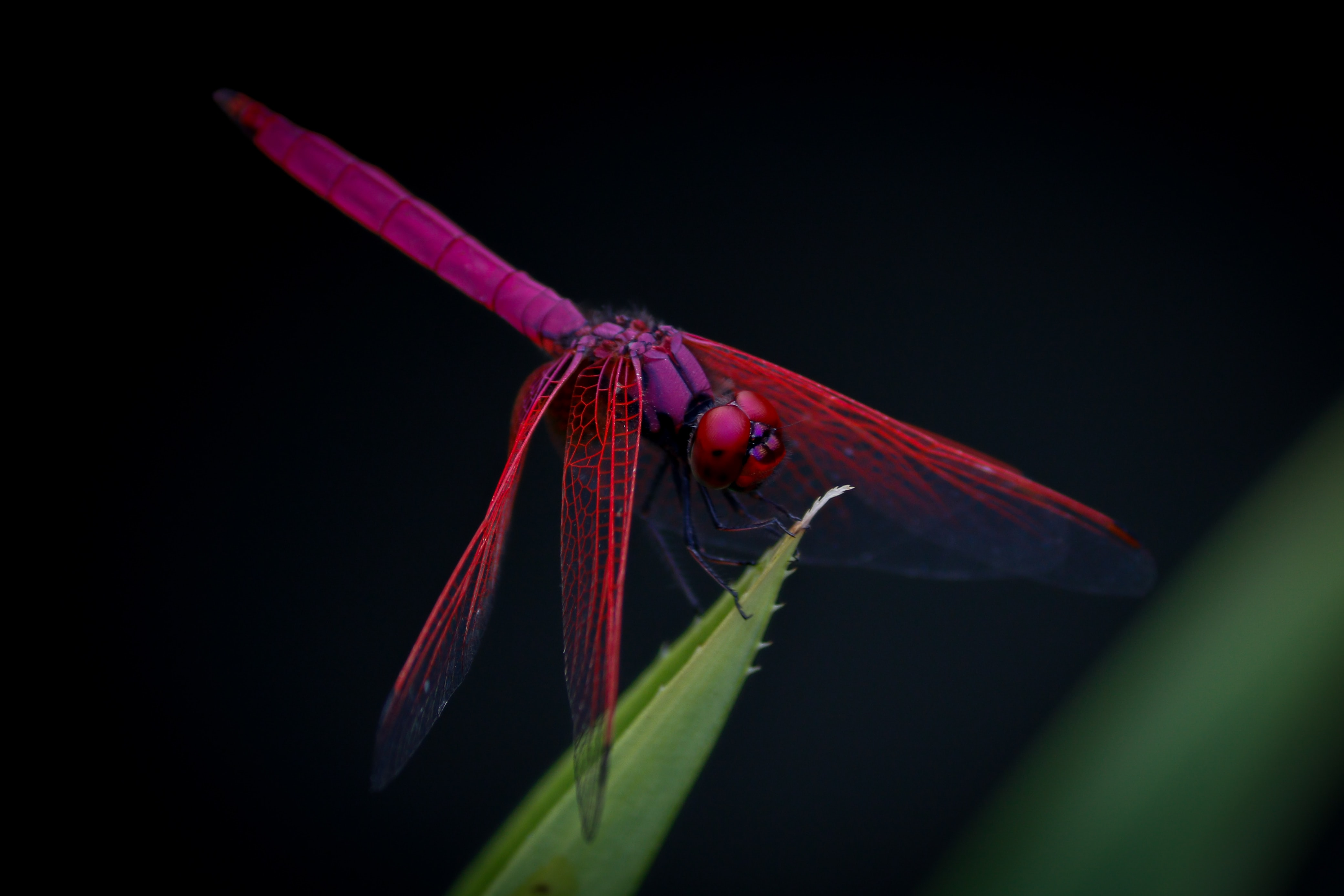Purple and pink dragonfly landing on a leaf
