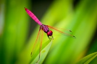 pink dragonfly perching on green leaf