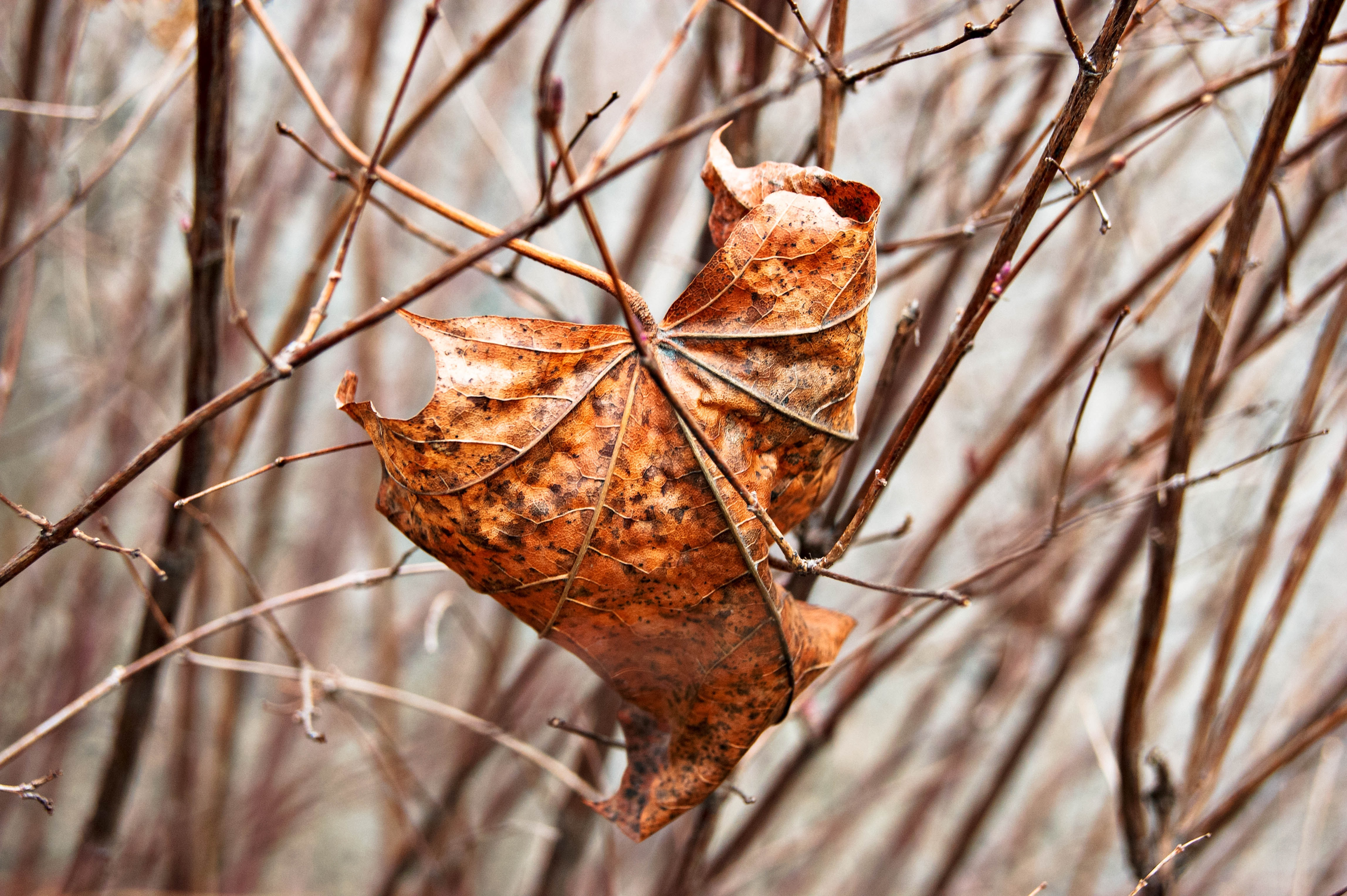 Brown autumn leaf dried up in the branched of a tree