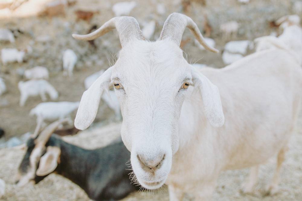 herd of goats under sunny sky