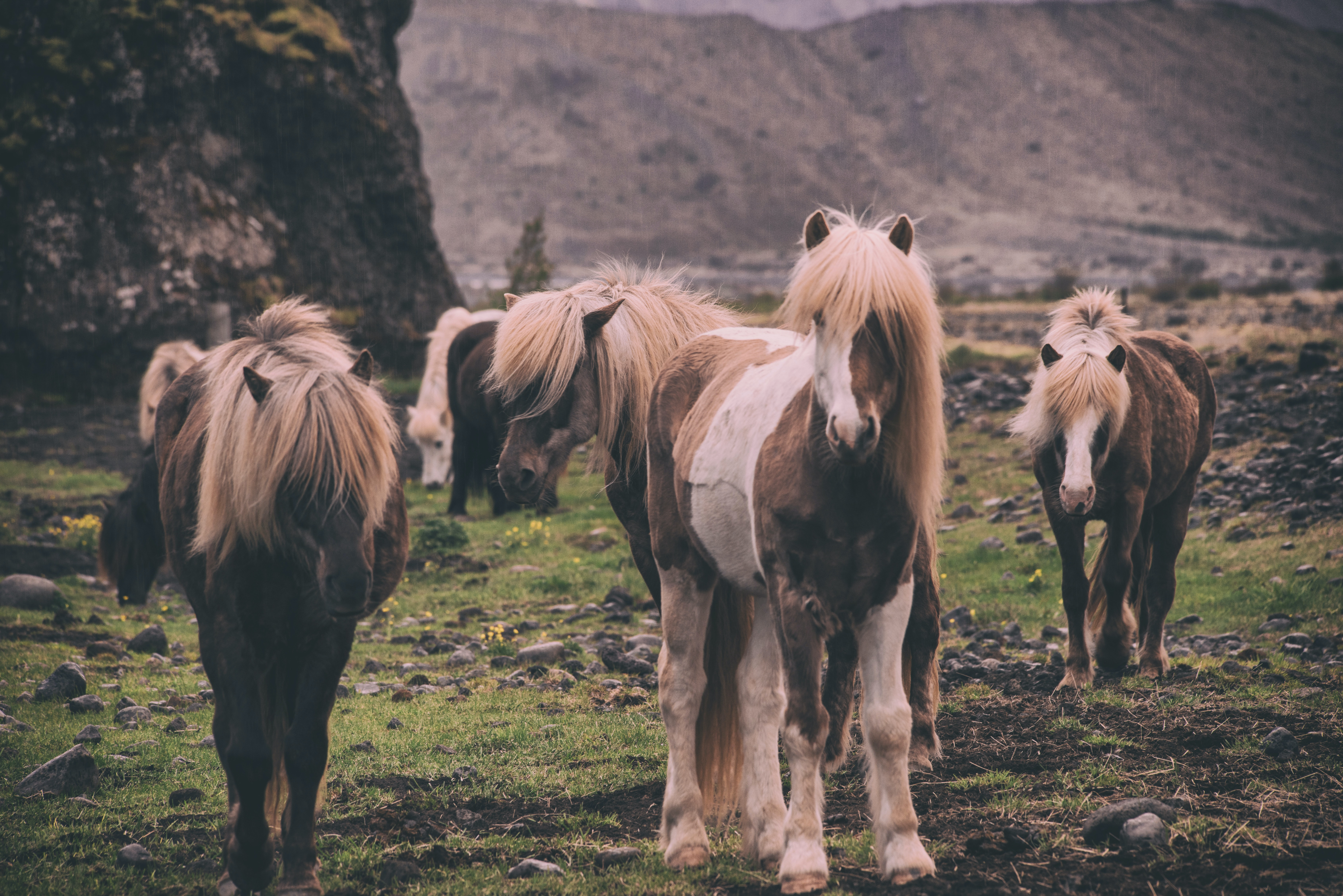 A herd of horses with long flaxen manes on a rocky plain under a rock face