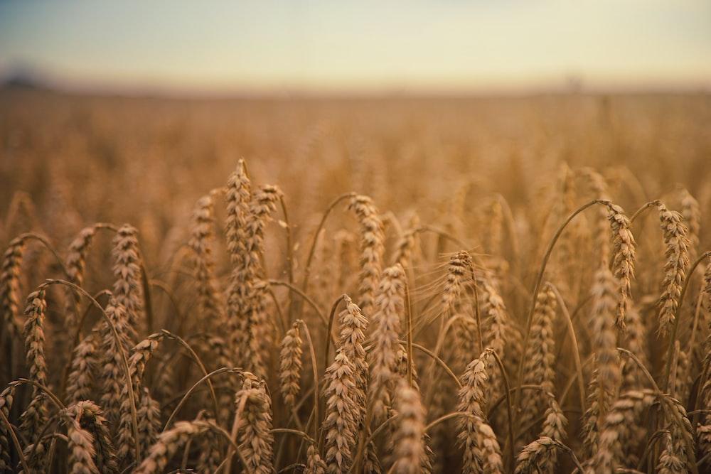 brown wheatfield