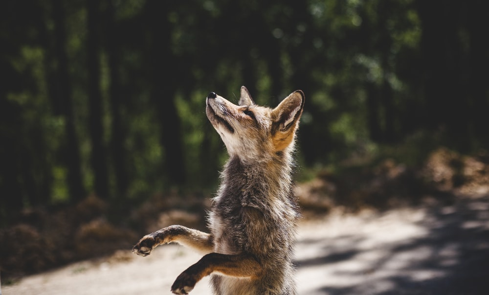 brown fox standing near woods during daytime