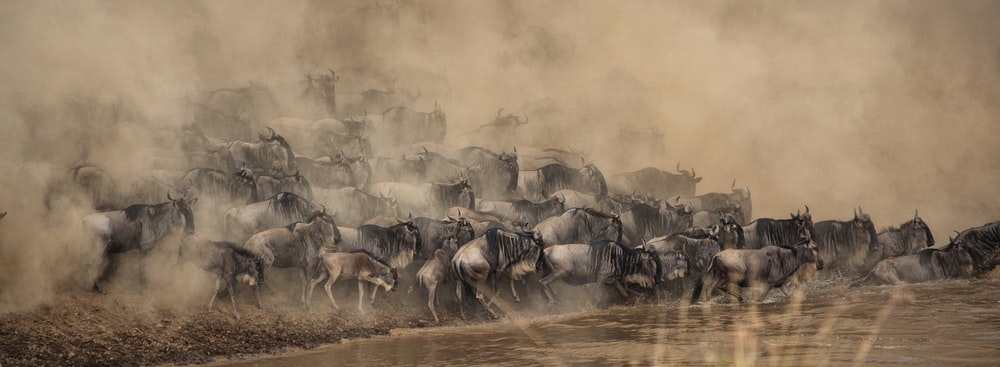 wildebeest about to cross at the river painting