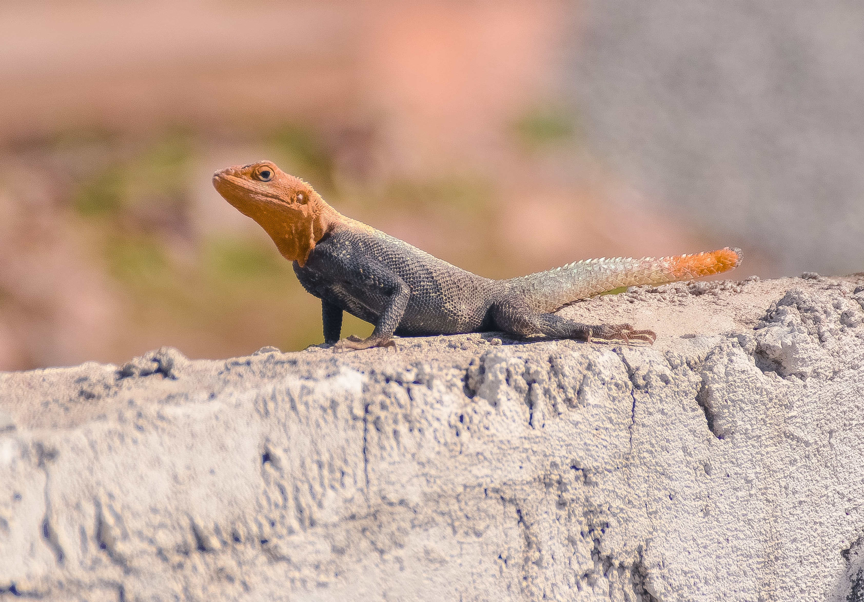 A lizard with an orange head and tail and a black body on a stone wall