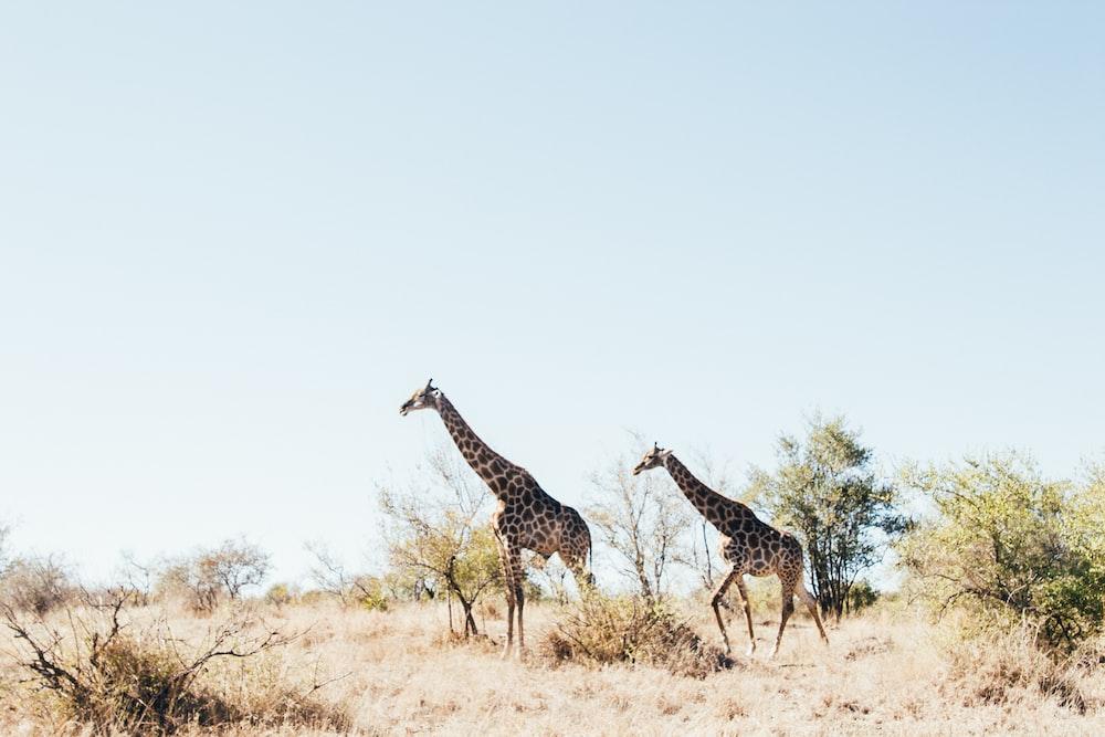 two brown Giraffe on brown grass field