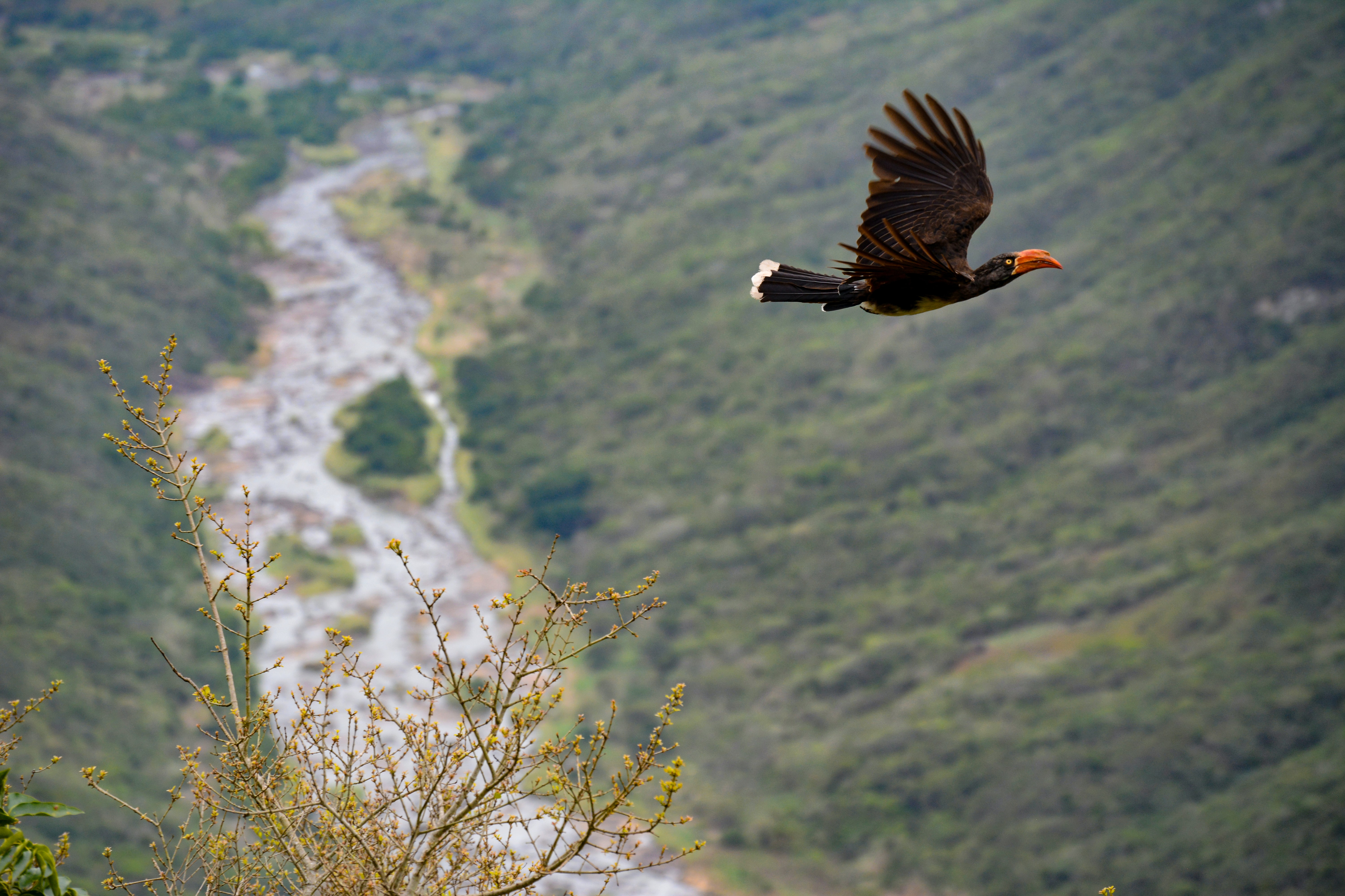 Black bird with orange beak mid flight over a tree and a gorge