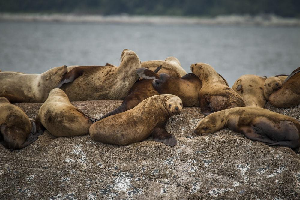 herd of seals