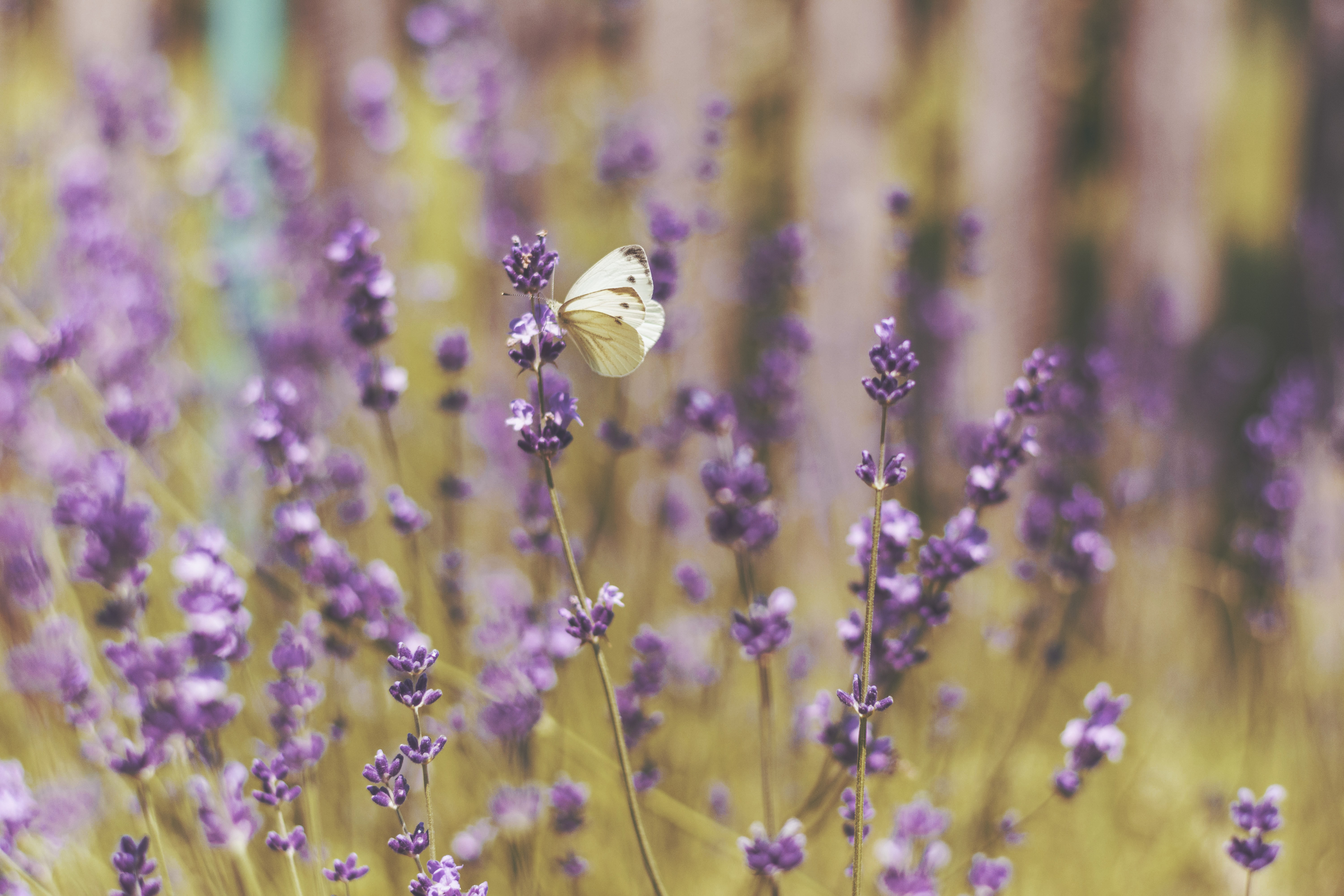 A white butterfly on lavender flowers