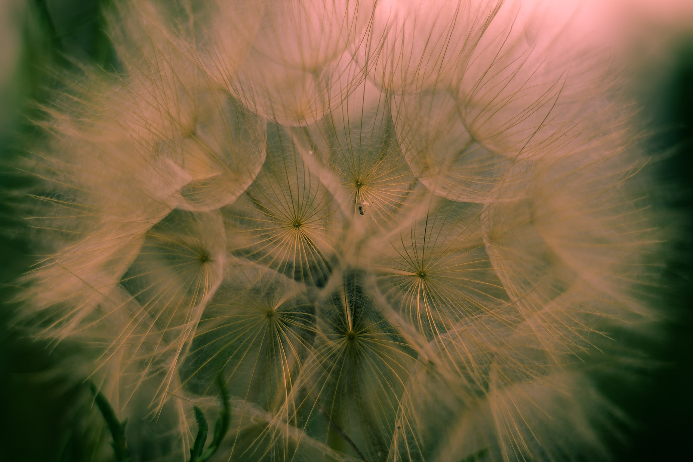 macro photography of dandelion