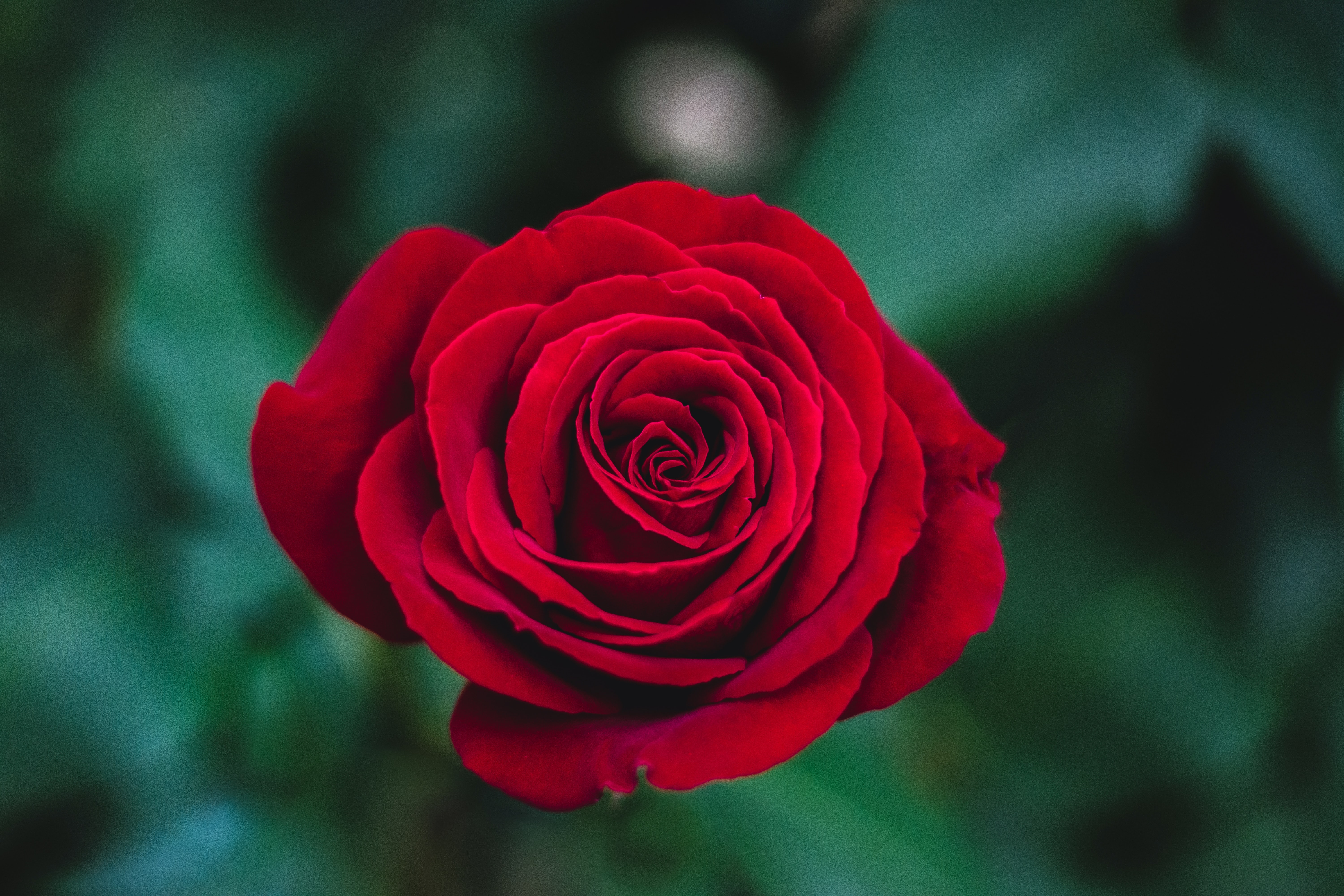 Close-up of a deep red rose