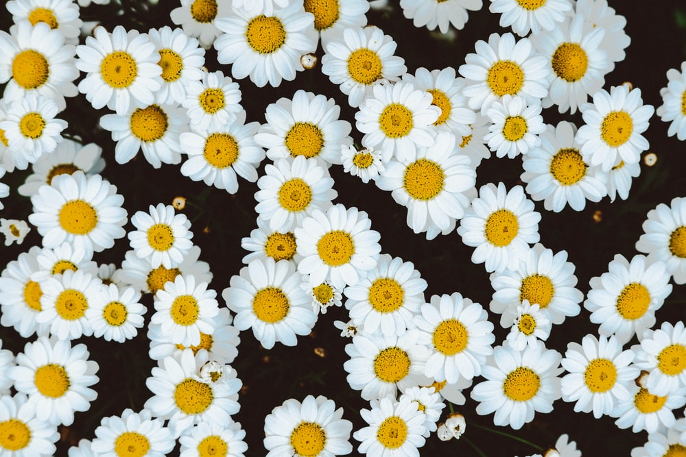 bed of daisies