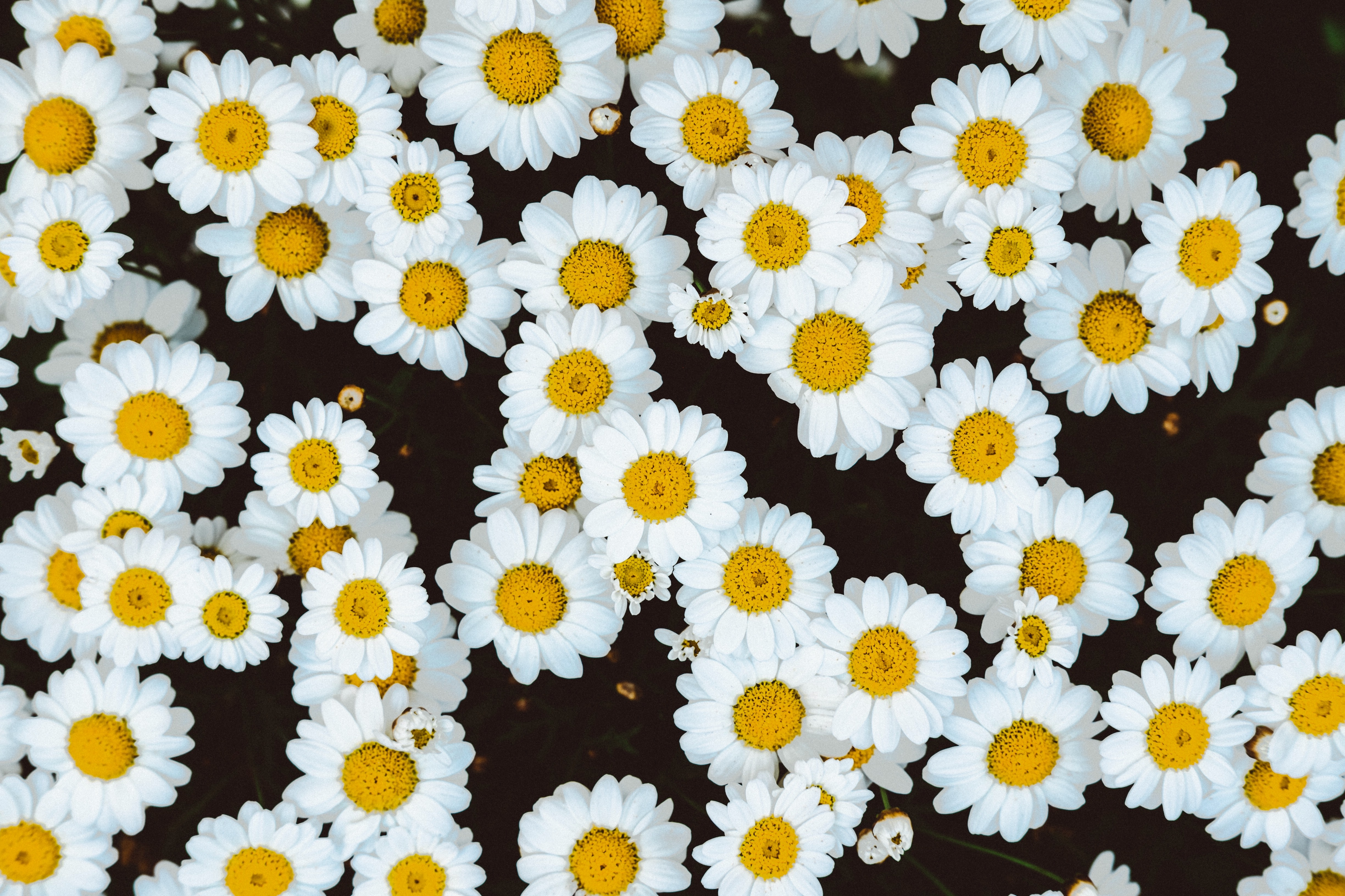 An overhead shot of a bed of chamomile flowers