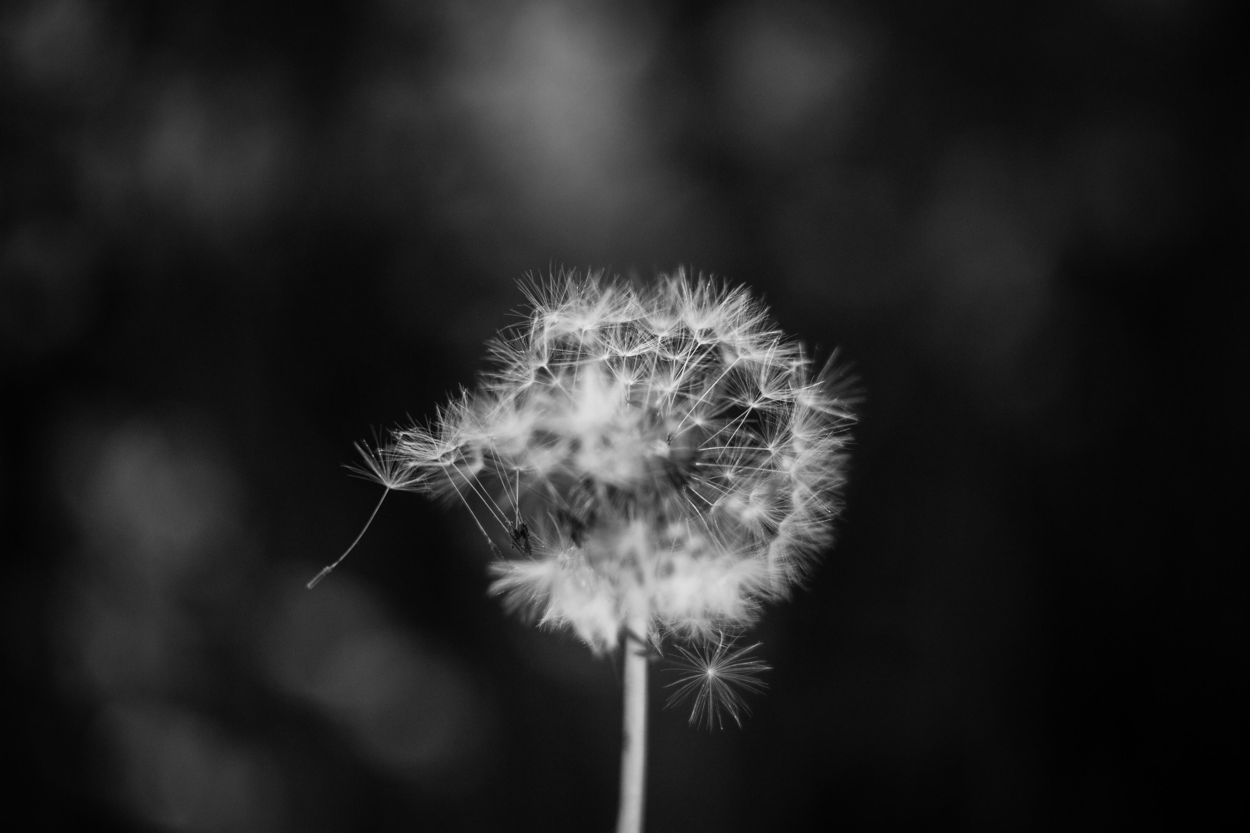Black and white macro of dandelion flower head