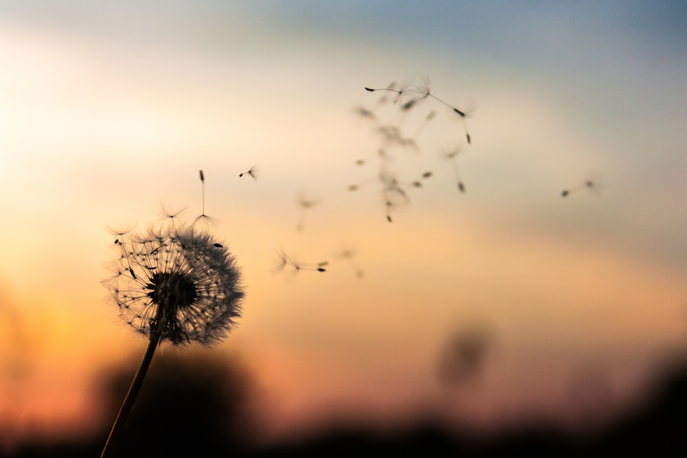 27 Dandelion Pictures Download Free Images Stock Photos On Unsplash