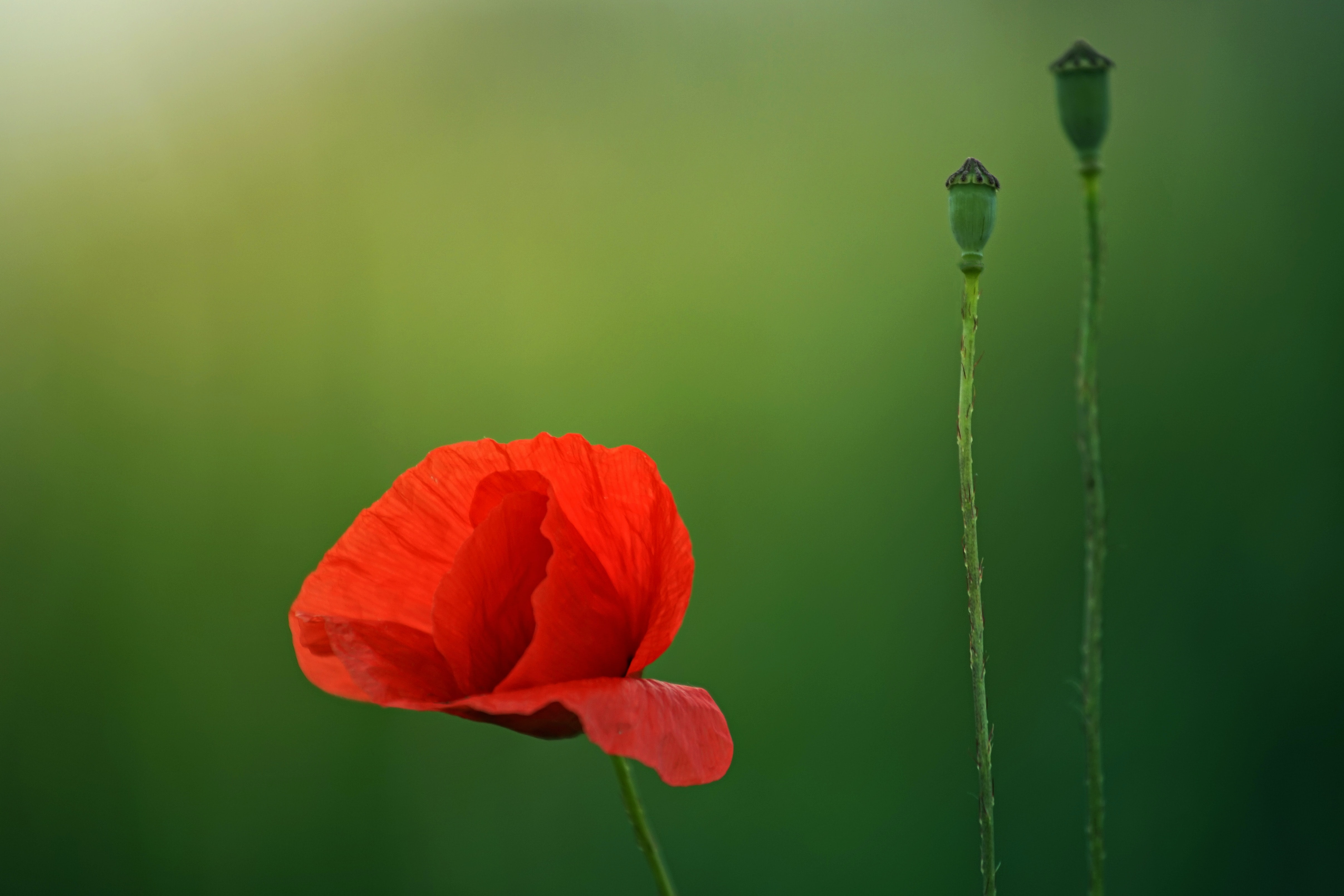 Close-up of a red poppy next to two seed heads