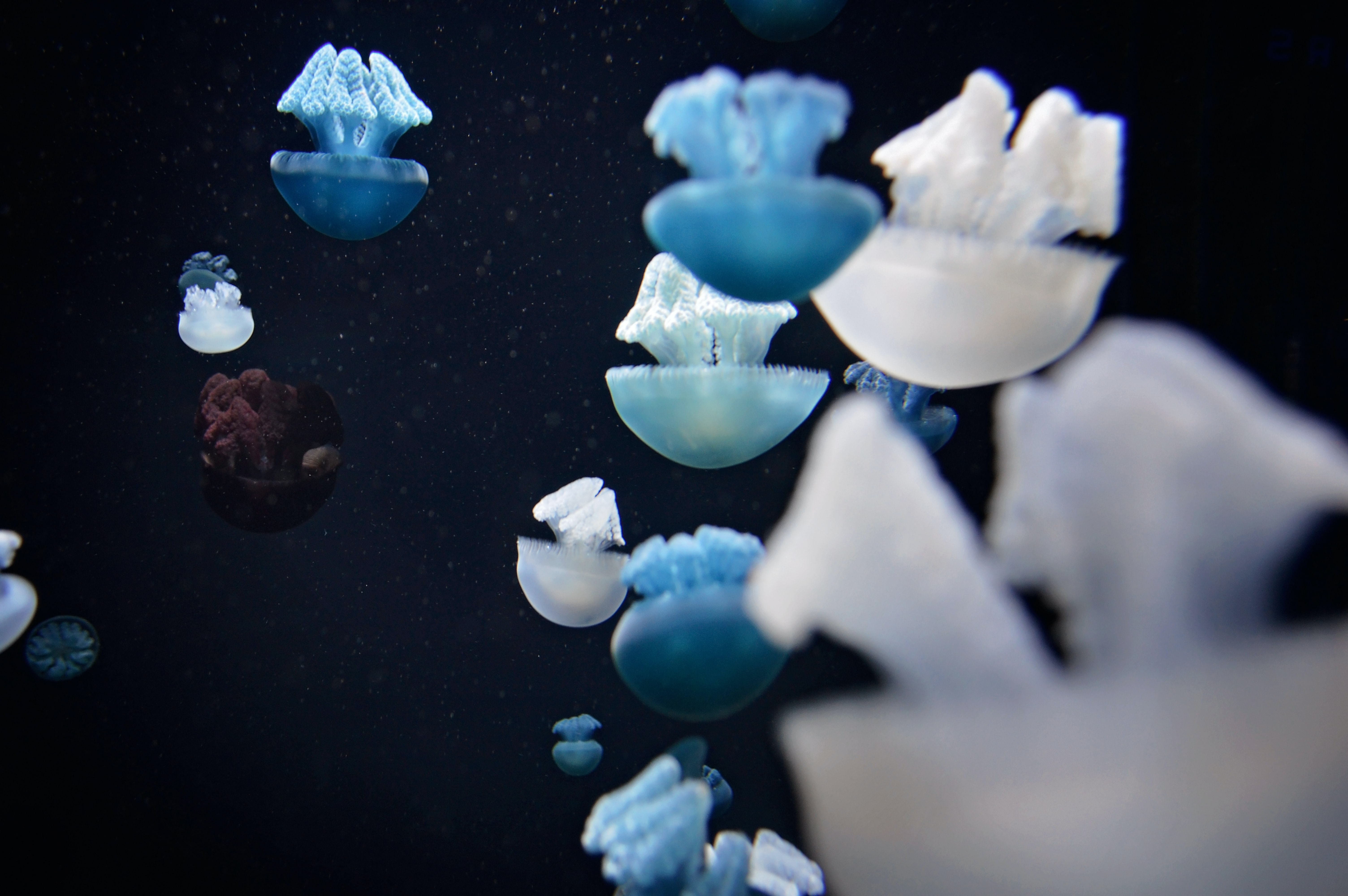 A swarm of blue, white, and brown jellyfishes swimming underwater as seen in Baltimore