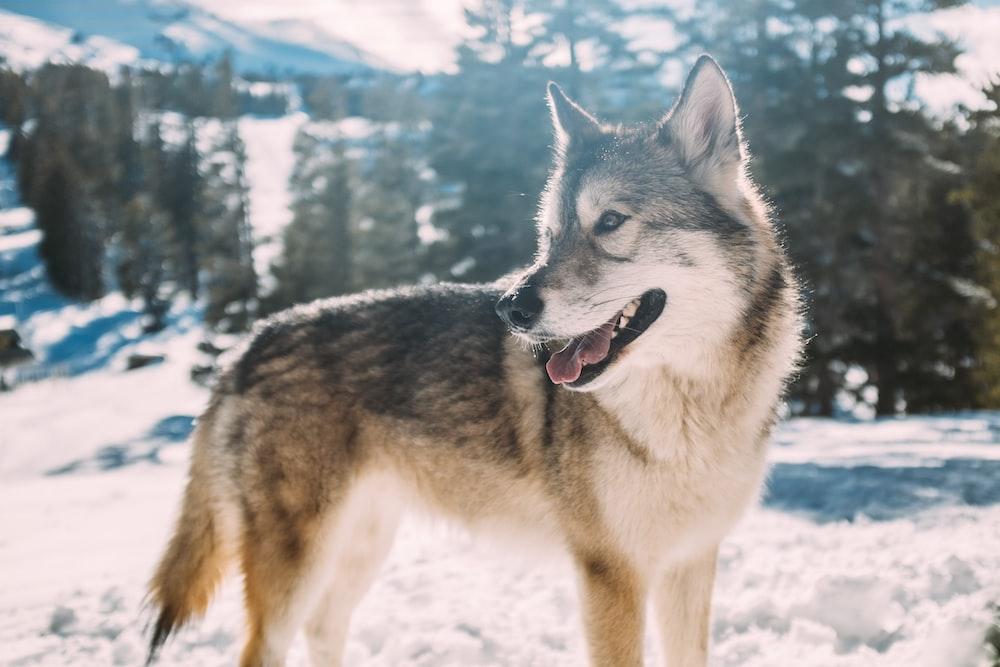 grey wolf on snow field