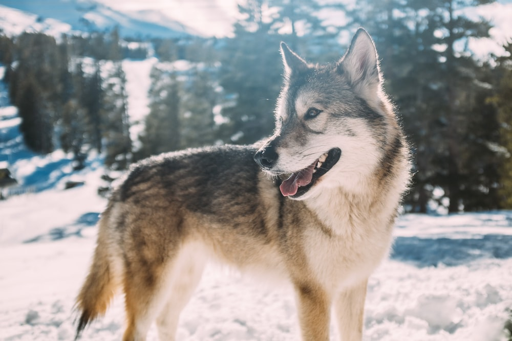 500 Siberian Husky Pictures Hd Download Free Images