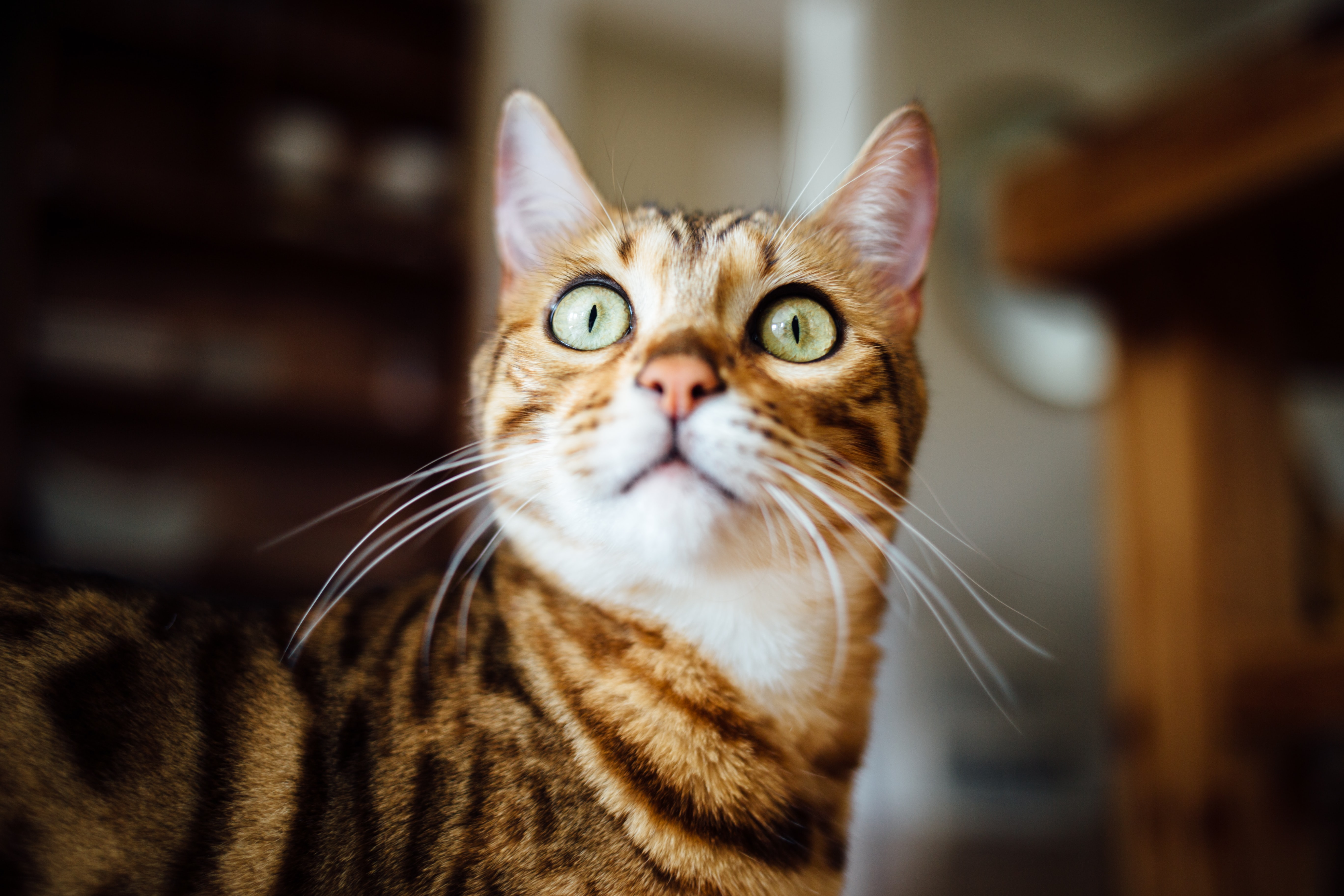 Close-up of a ginger cat's eyes growing wide