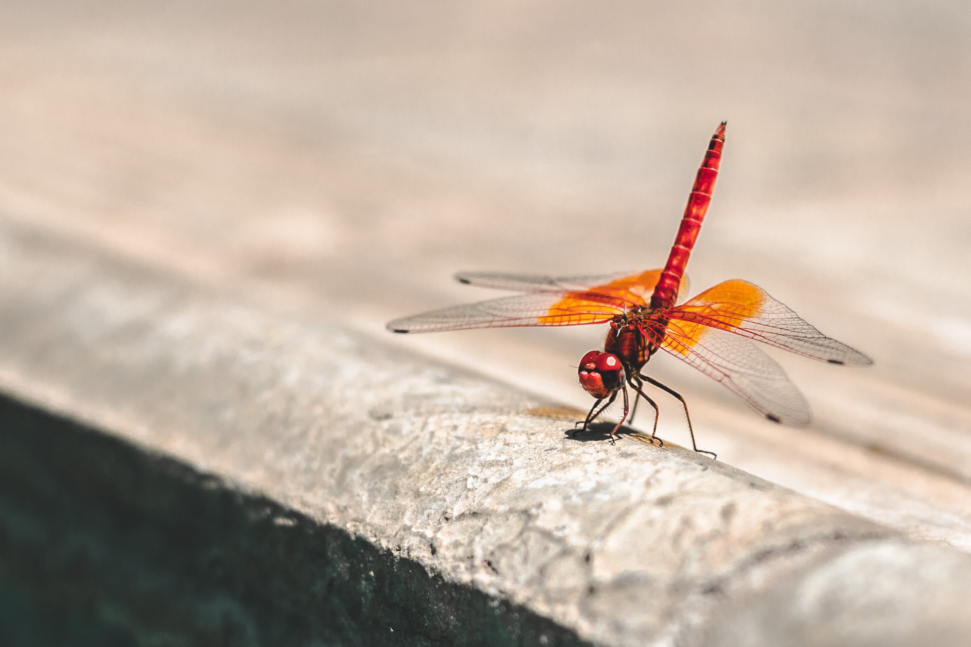 Orange dragonfly lands on the concrete pavement