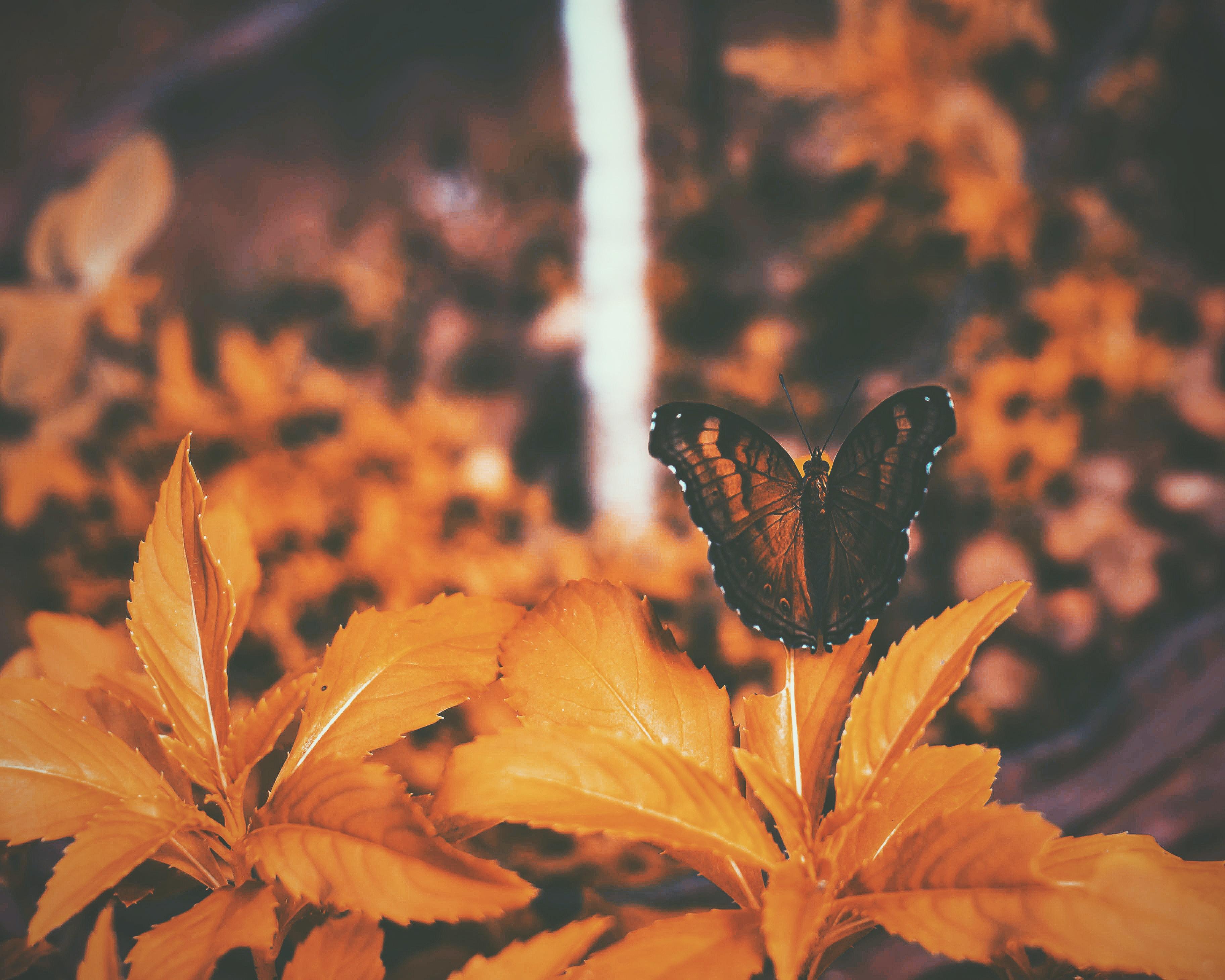 black butterfly perching on orange leaves
