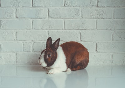 brown and white rabbit beside wall rabbit zoom background