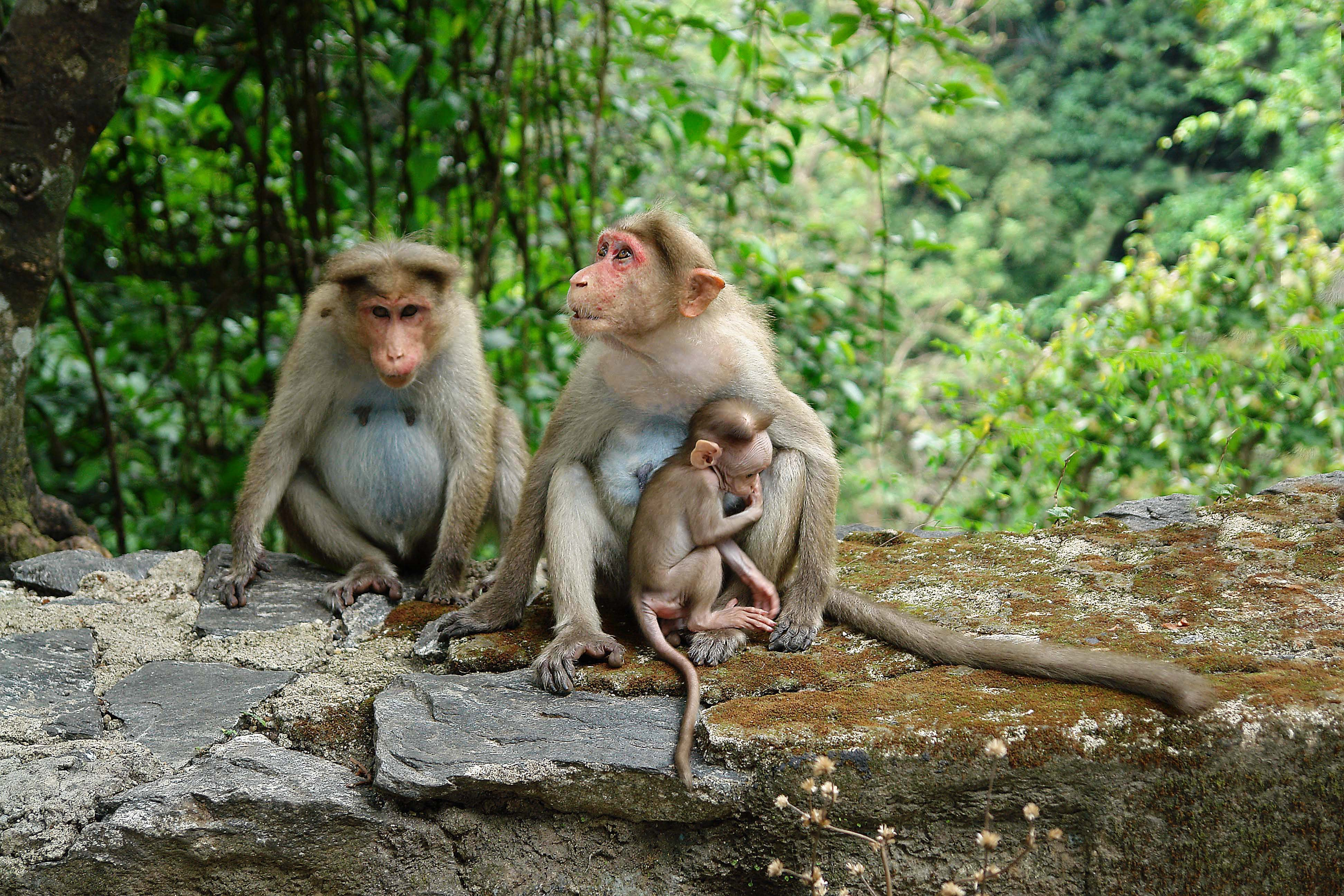 Two adults and one baby monkey sit on a stone wall in the jungles of Kerala