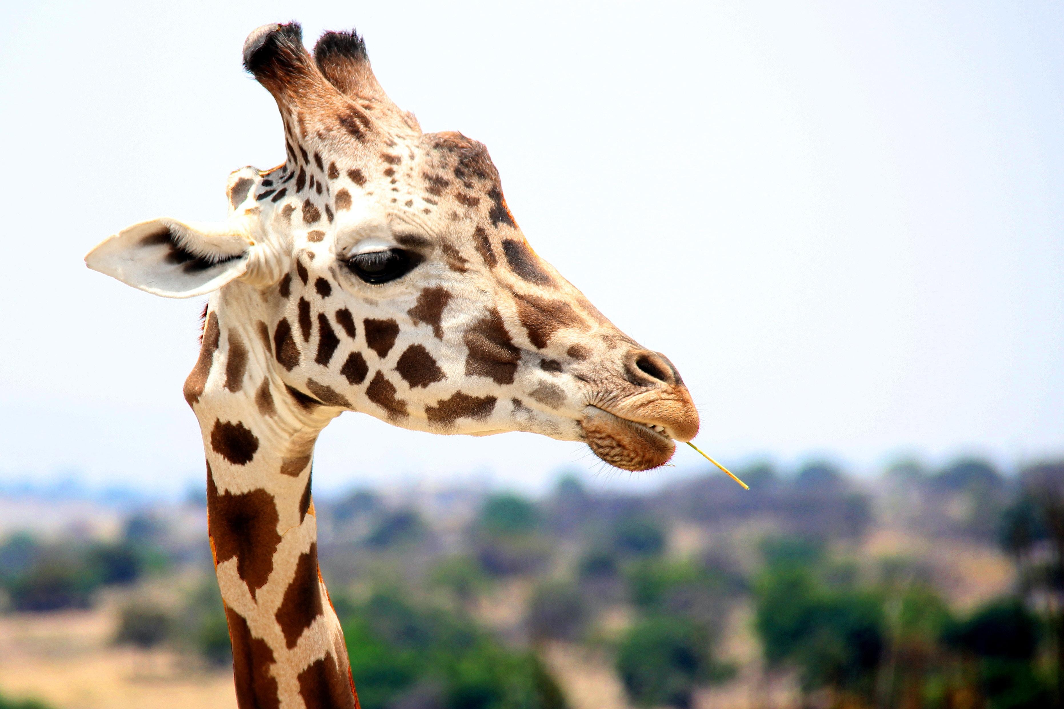 giraffe eating during daytime
