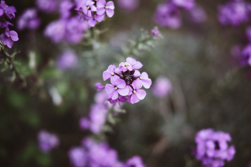 selective focus of purple flowers