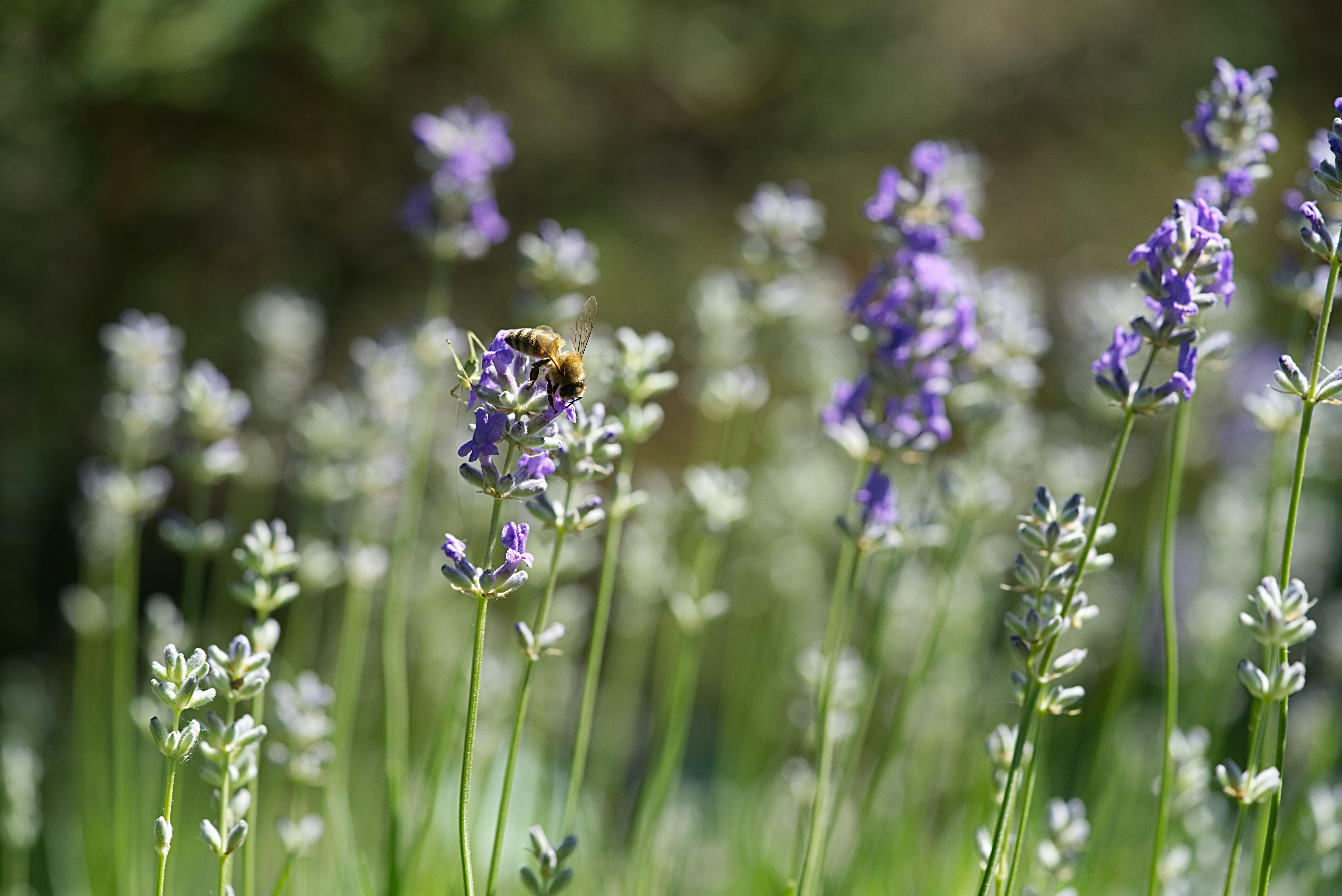 lavandas 13 best free lavanda flower purple and lavender photos