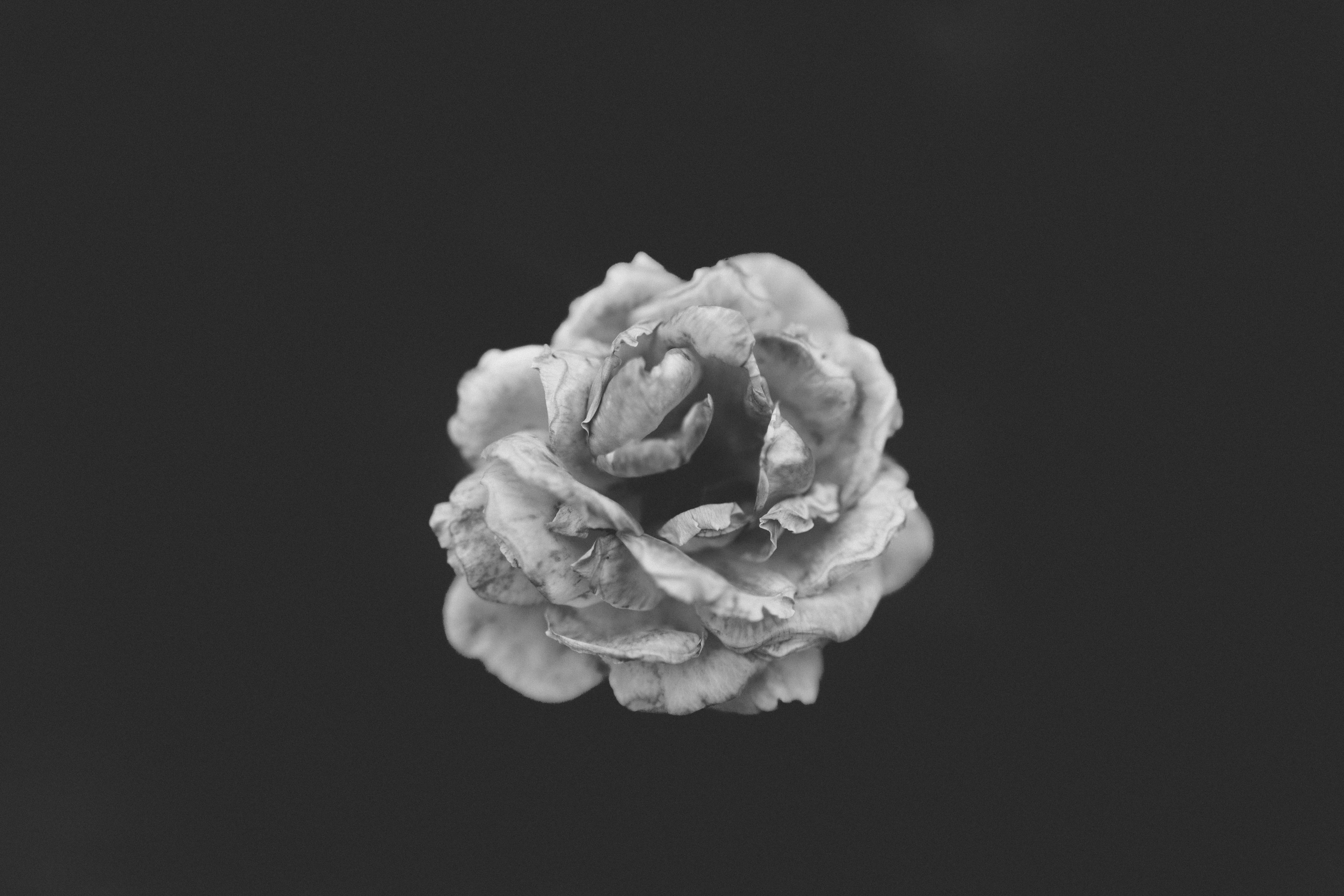 A black-and-white shot of a wilting rose